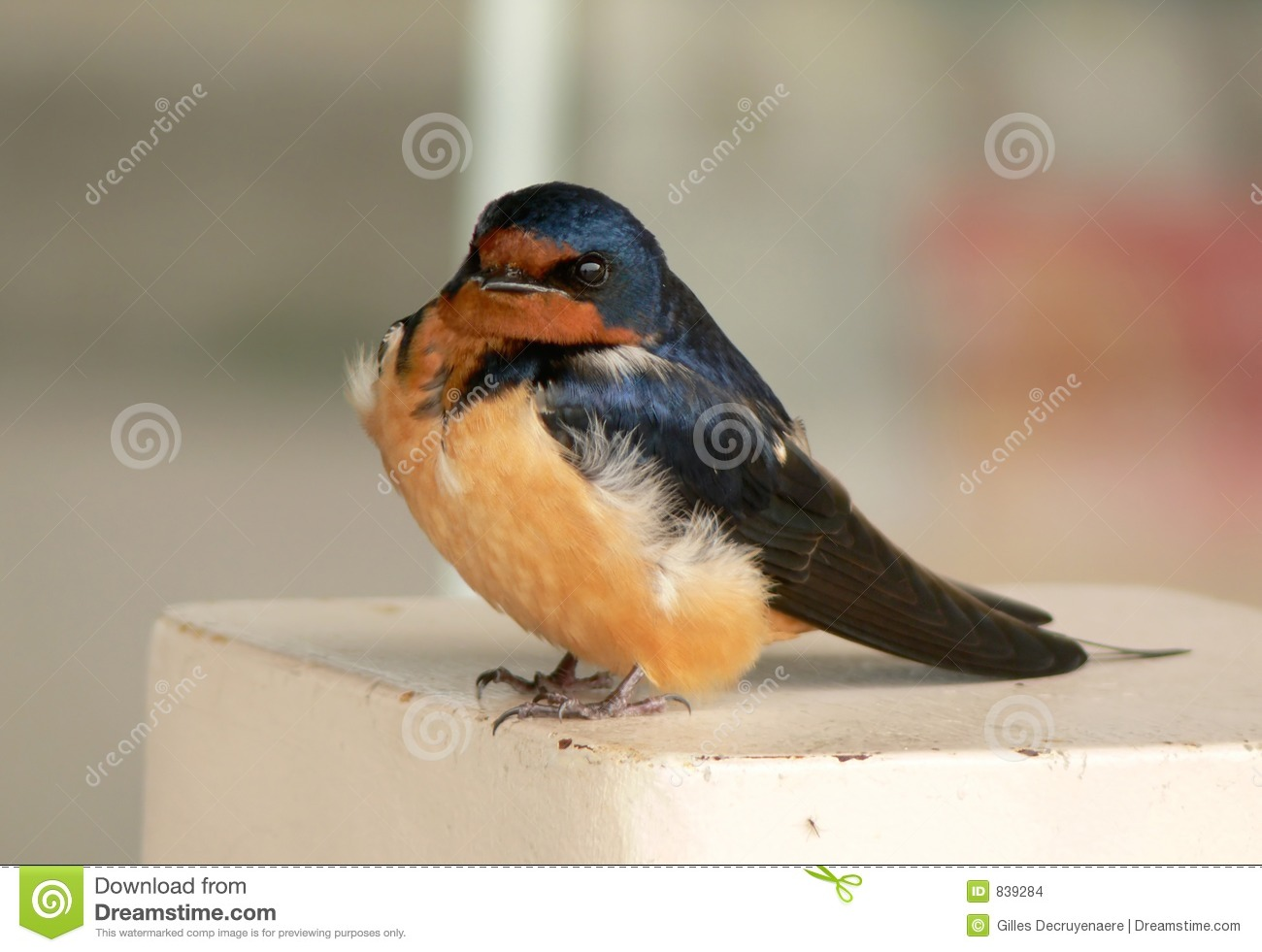 Swallow chick in spring.