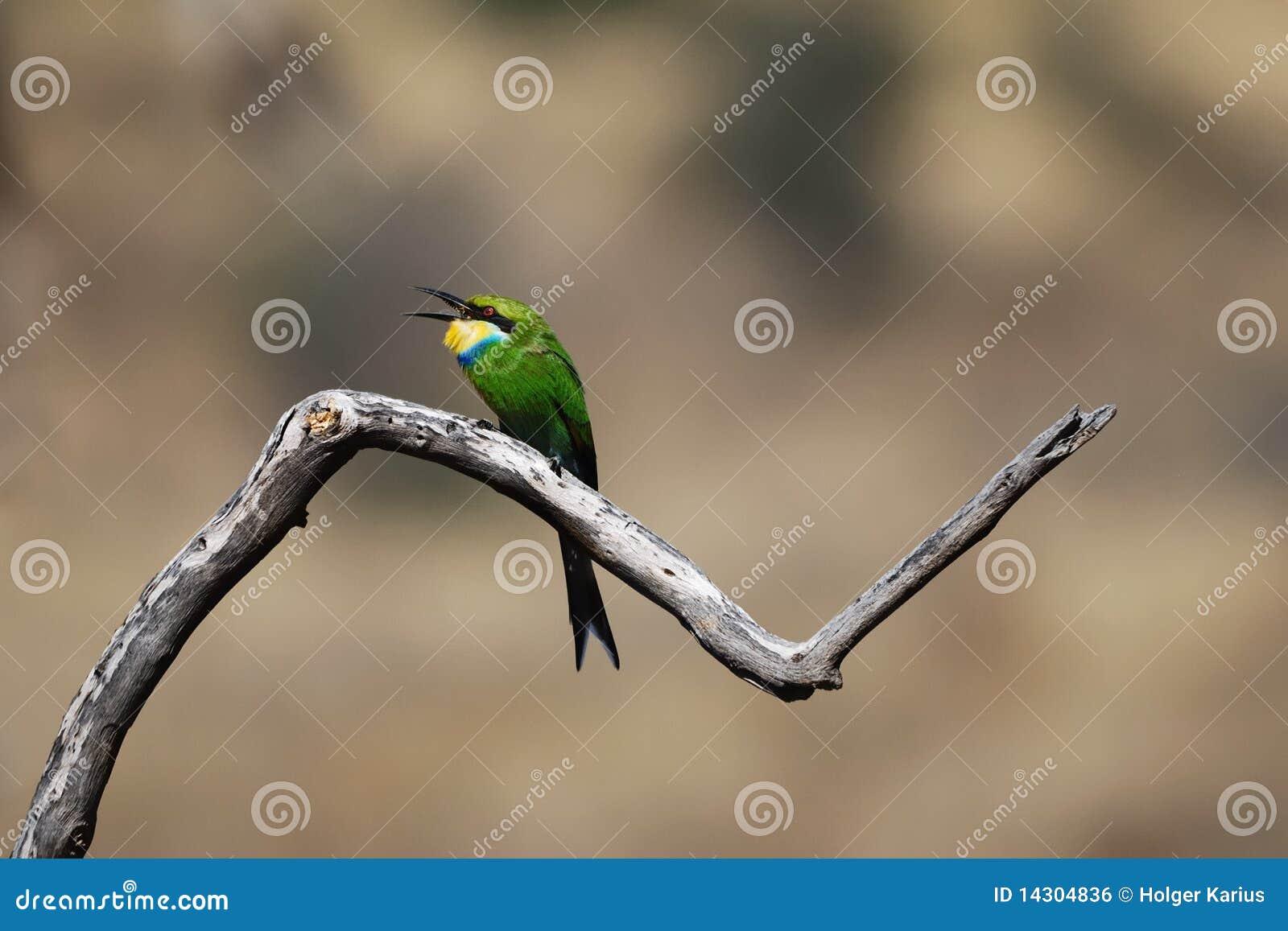 Swallow-Tailed Bee-Eater (Merops hirundineus)