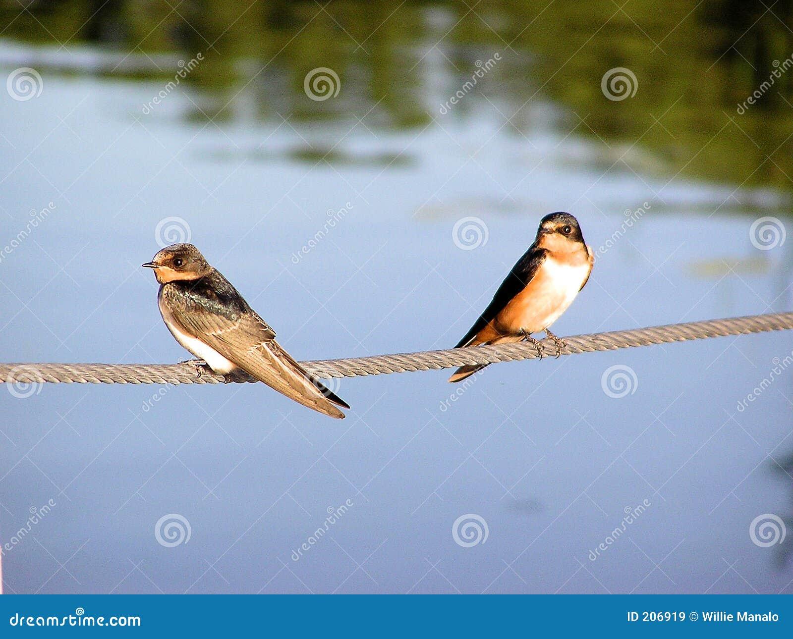 Swallows di granaio