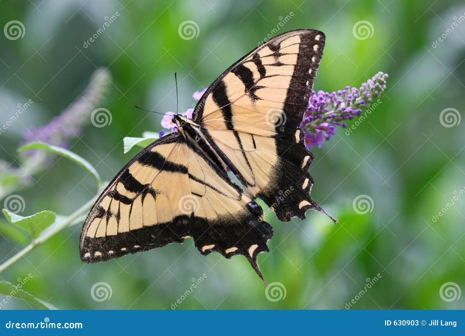 Download Swallowtail бабочки стоковое изображение. изображение насчитывающей карточки - 630903