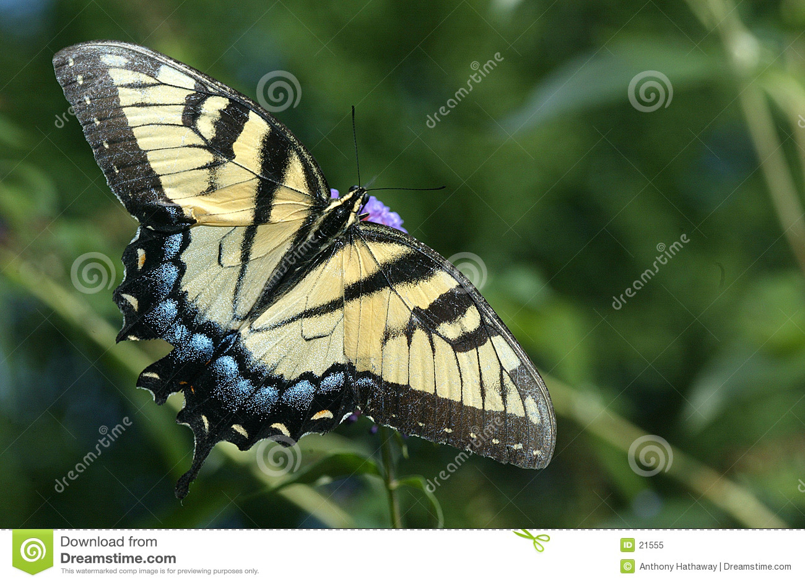 Swallowtail老虎