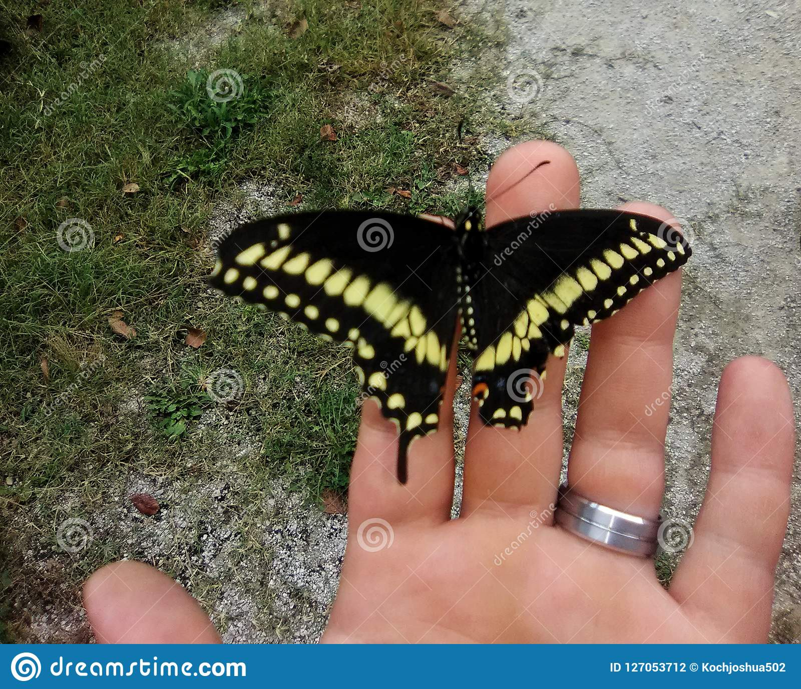 Swallowtail Butterfly on a hand with wedding band