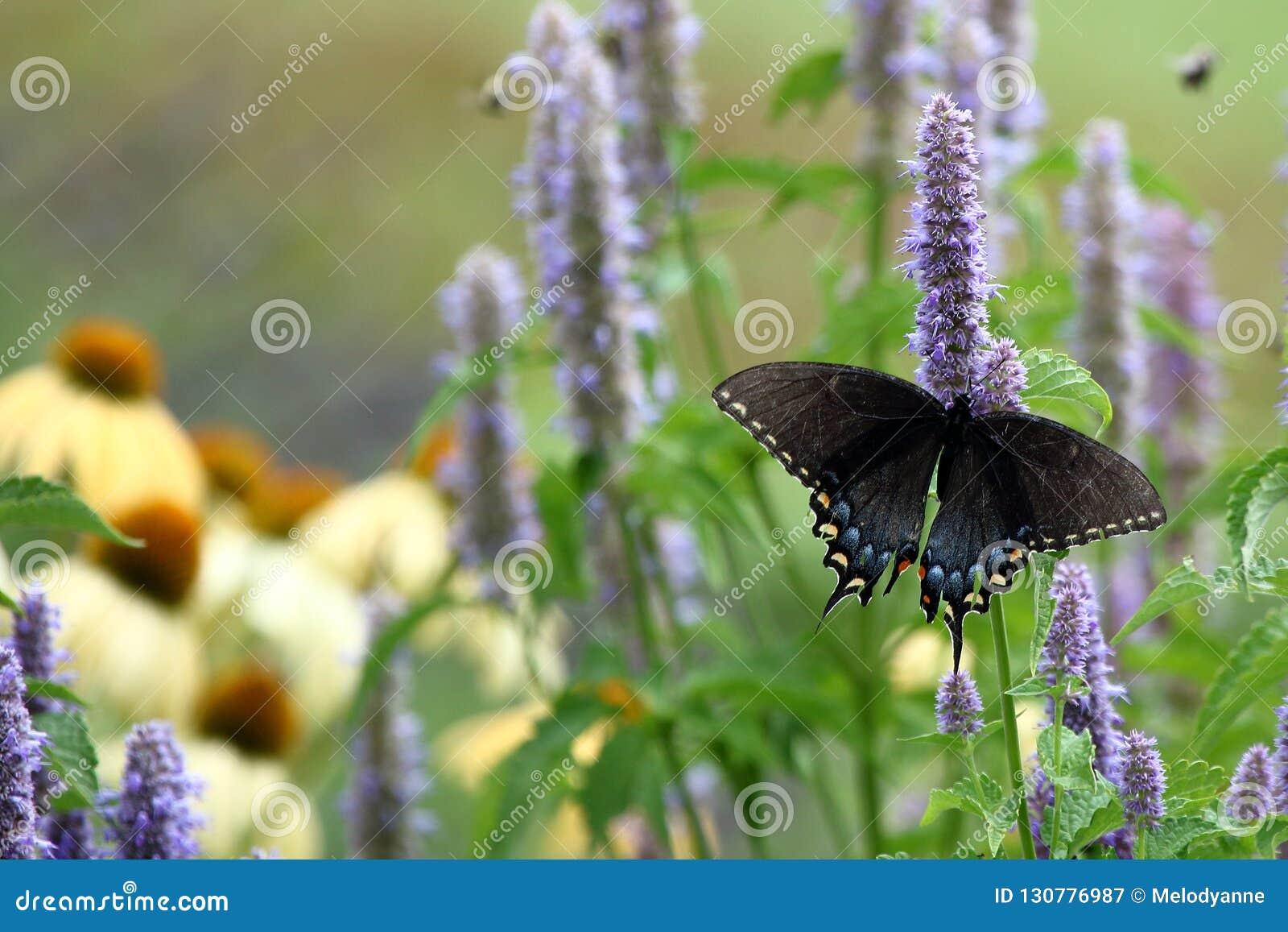 Swallowtail czarny motyla
