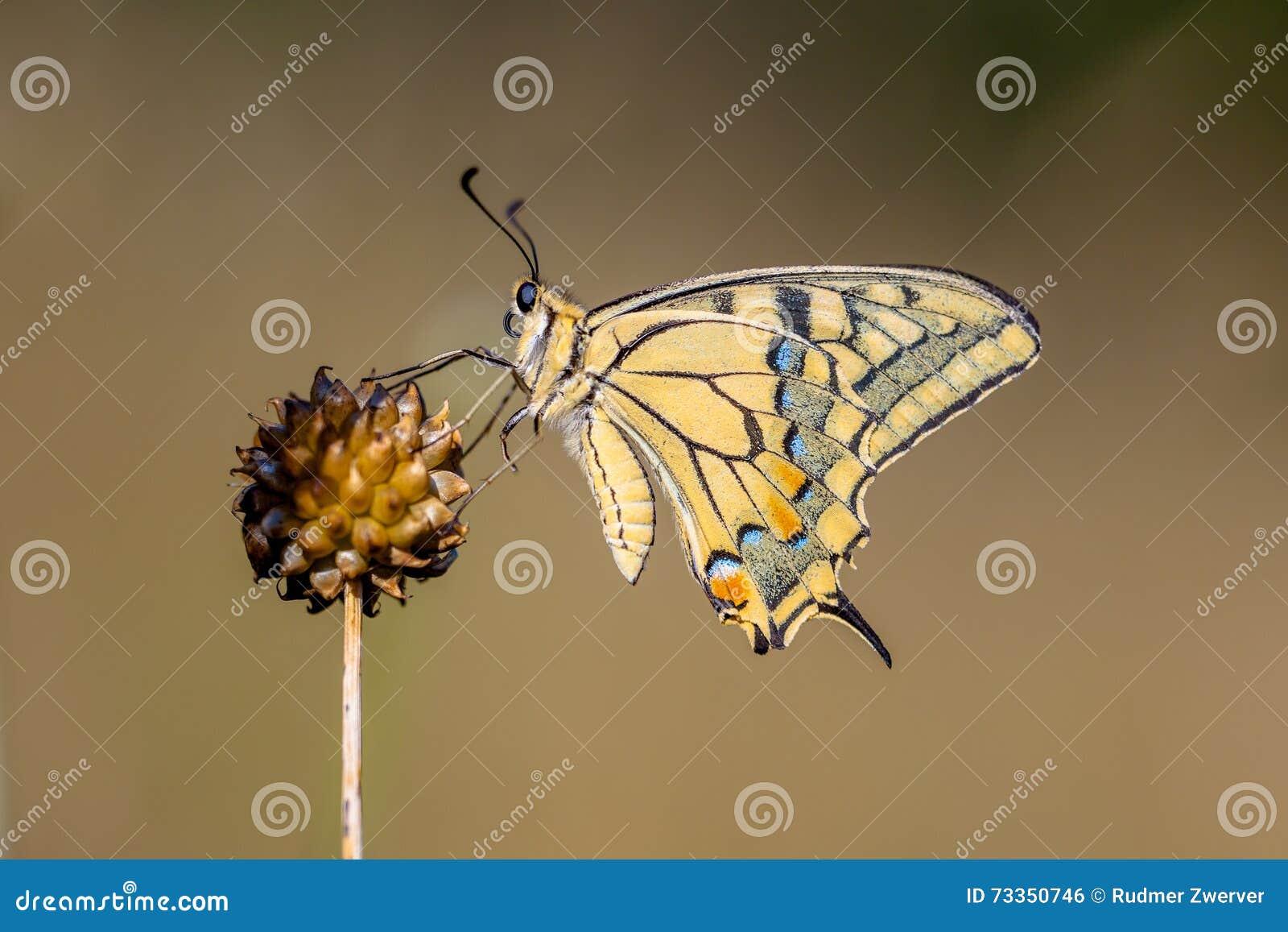 Swallowtail, das auf Lauch-Anlage stillsteht