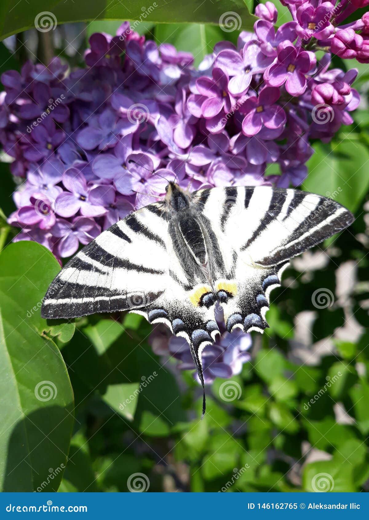 Swallowtail escasso no ilac