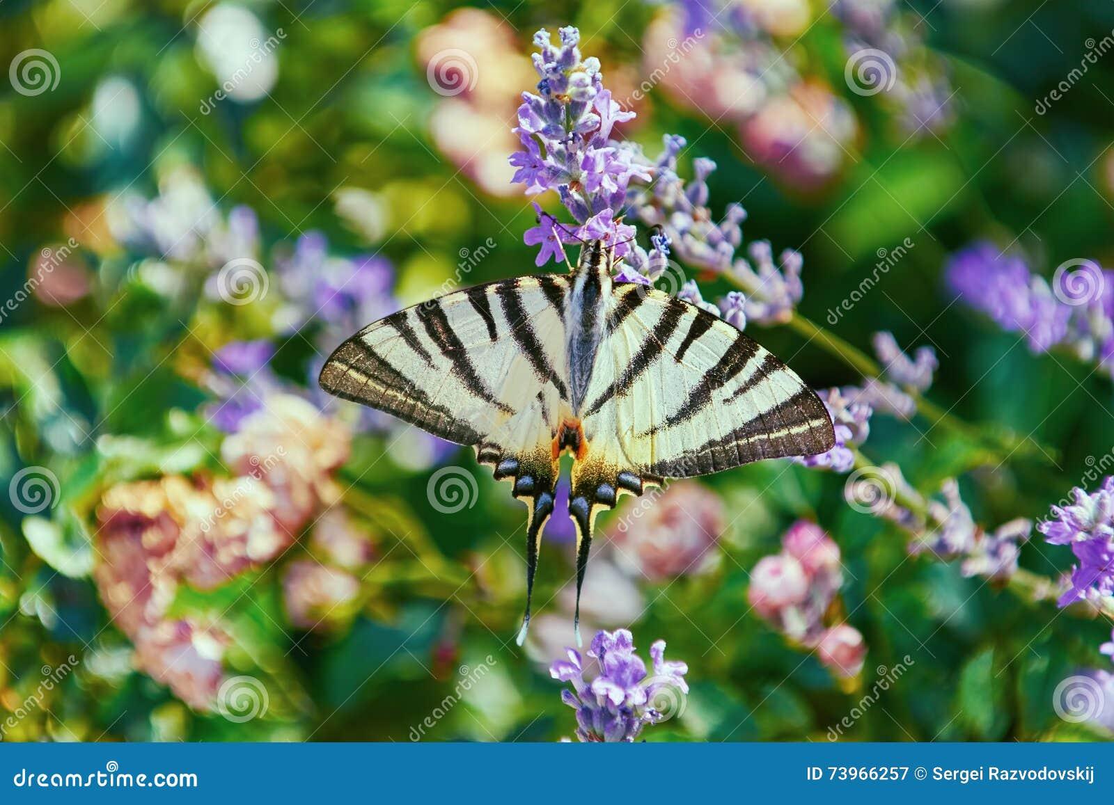 Swallowtail för fjärilsmachaonpapilio
