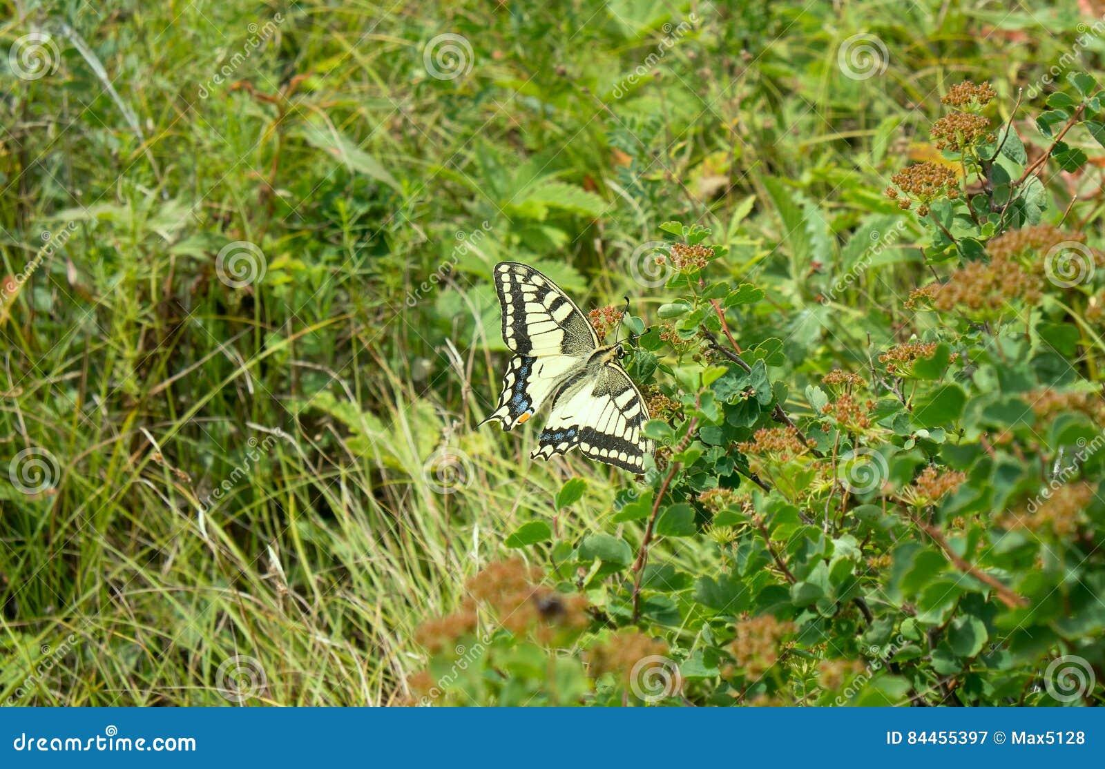 Swallowtail fjäril i Altai berg