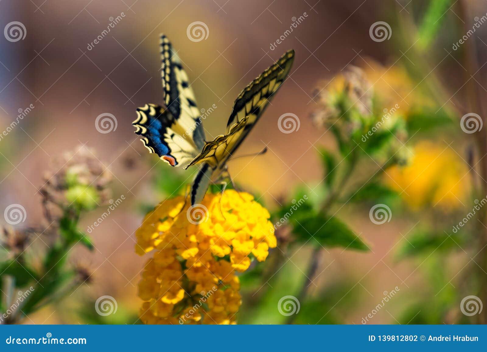Swallowtail motyl na kwiacie z zielonym tłem
