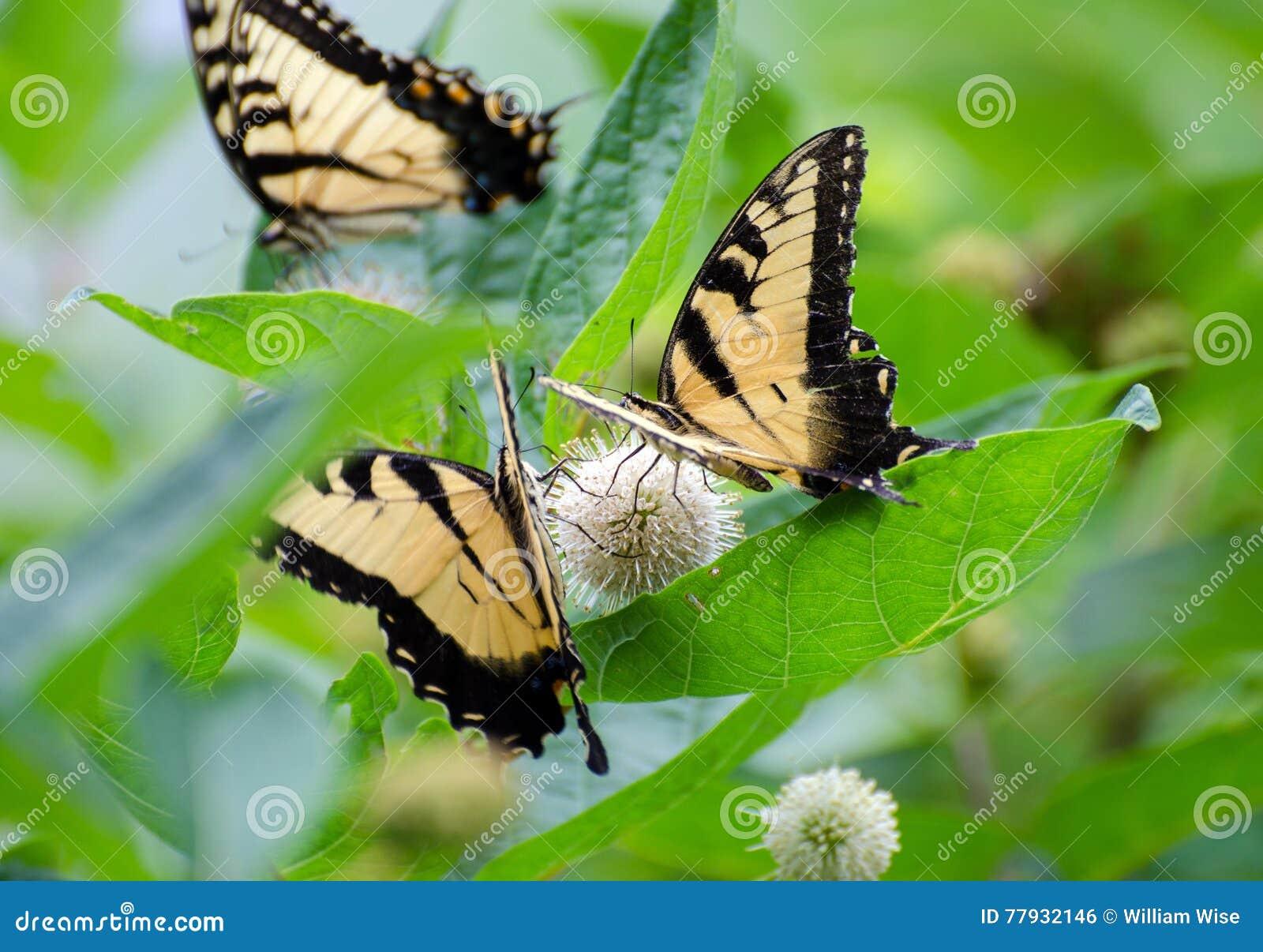 Swallowtail motyl na Wildflowers