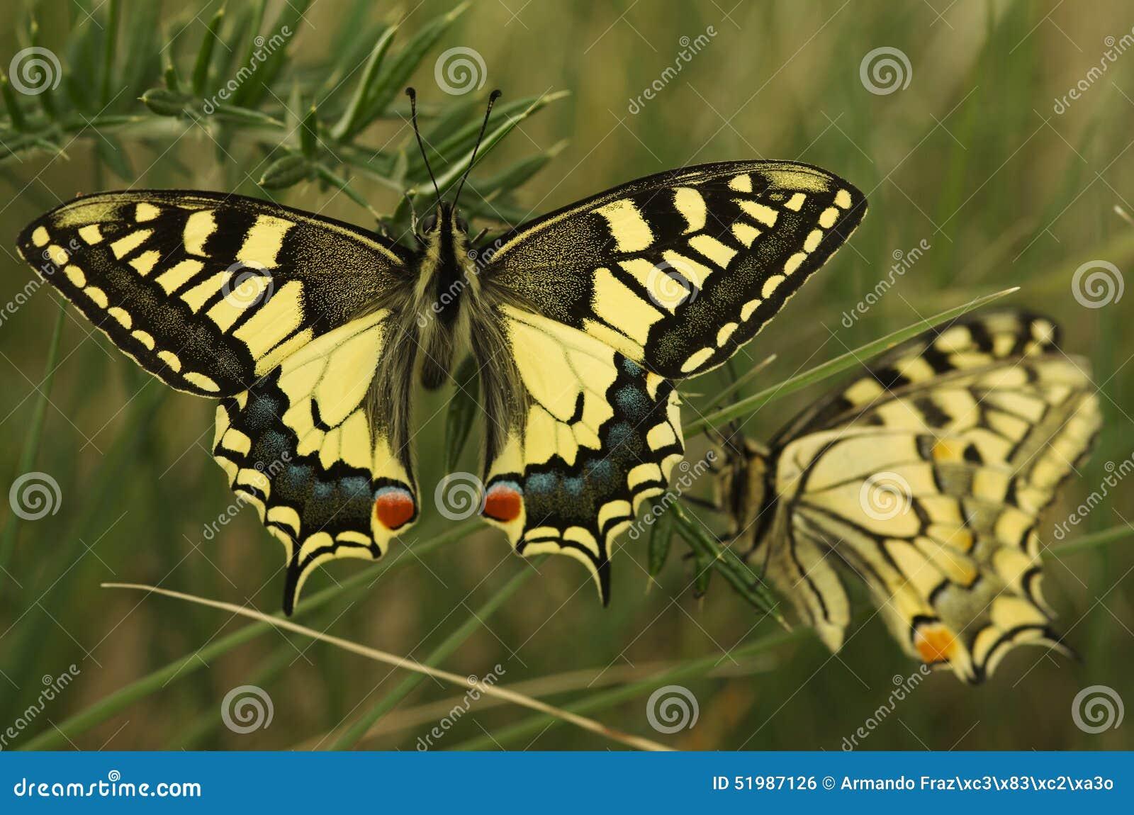 Swallowtail motyl, Papilio machaon