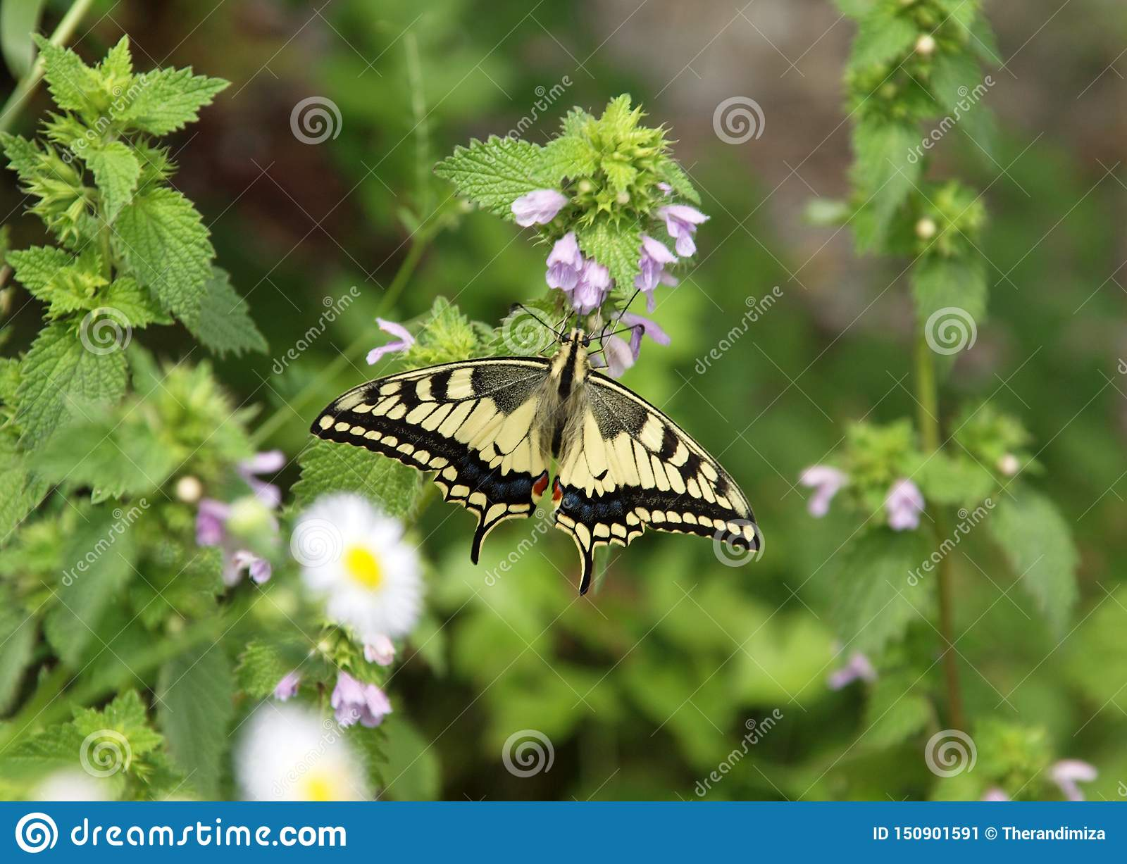 Swallowtail no pulegium do Mentha