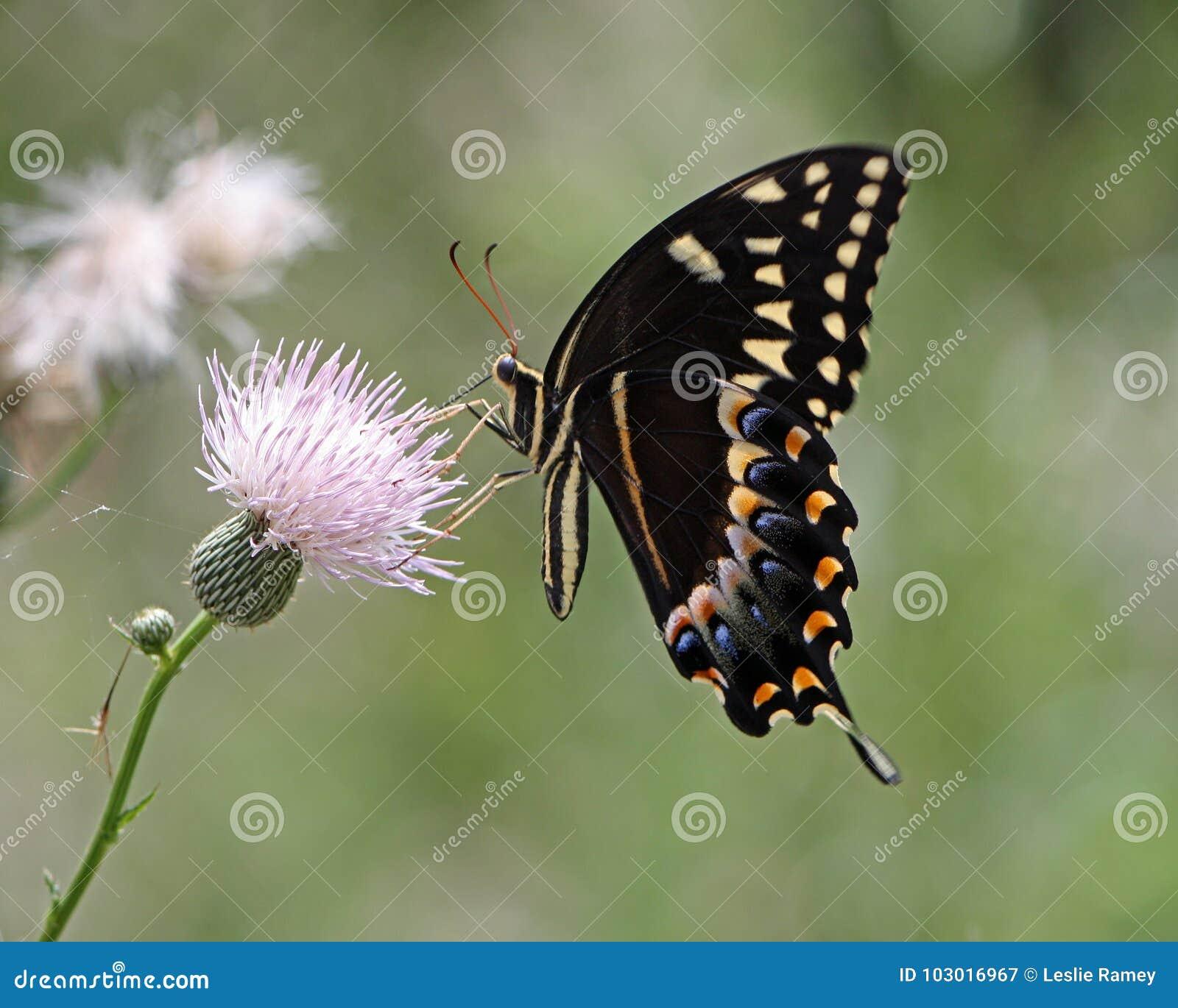 Swallowtail osetu Motyli Zapyla kwiat