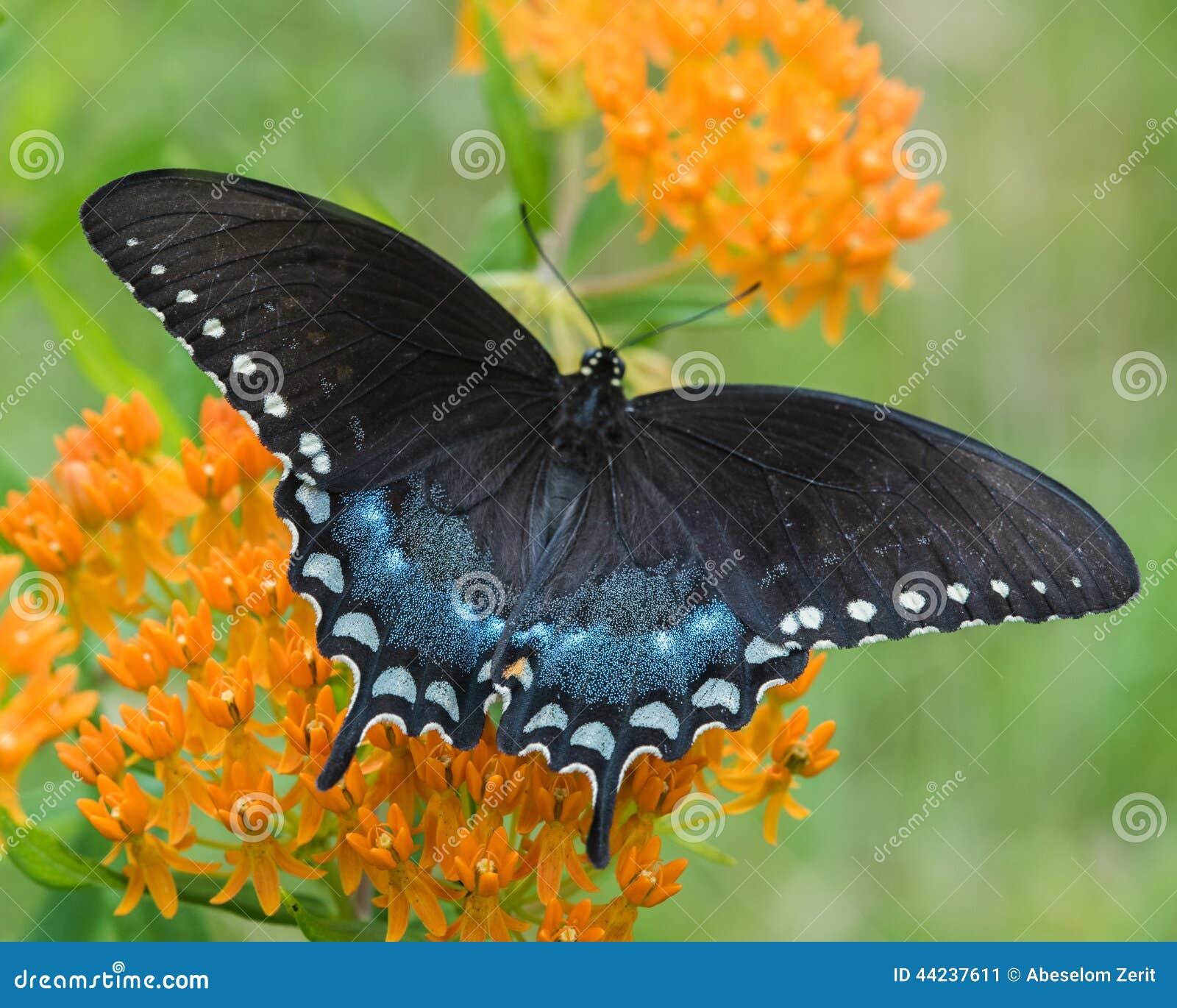 Swallowtail preto