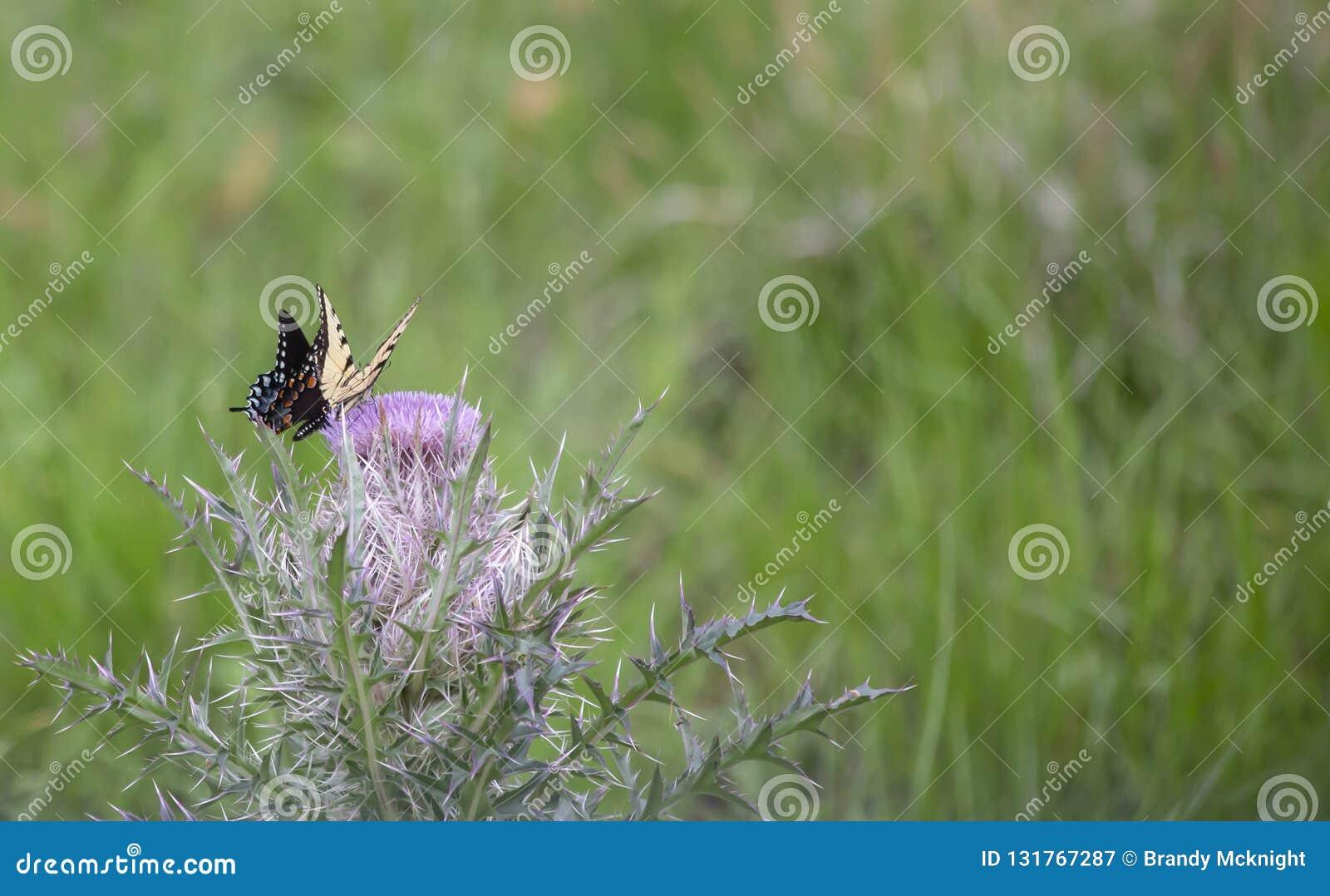 Swallowtail preto e borboletas orientais do swallowtail do tigre