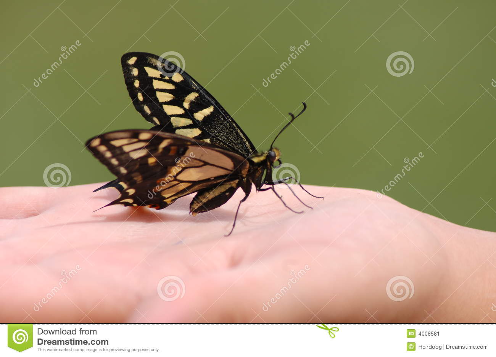 Swallowtail Saved
