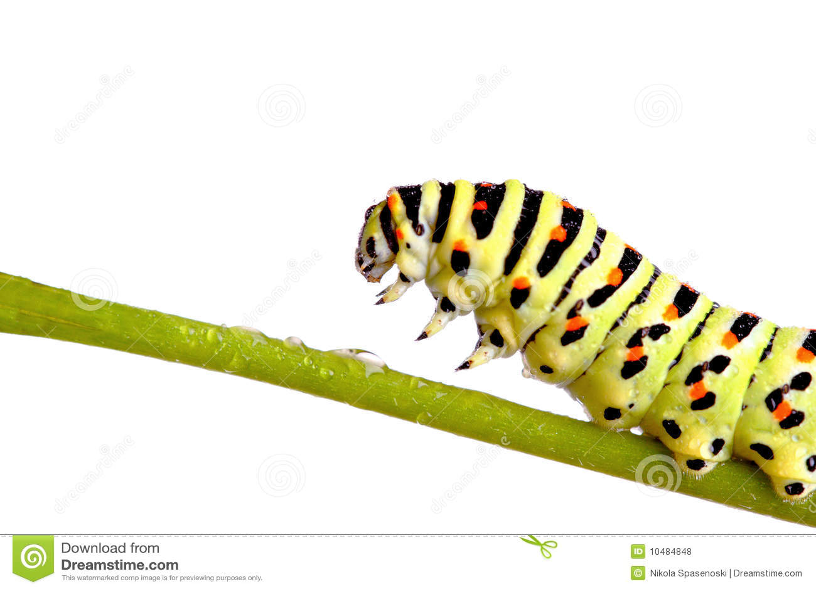 Swallowtail vert de tracteur à chenilles