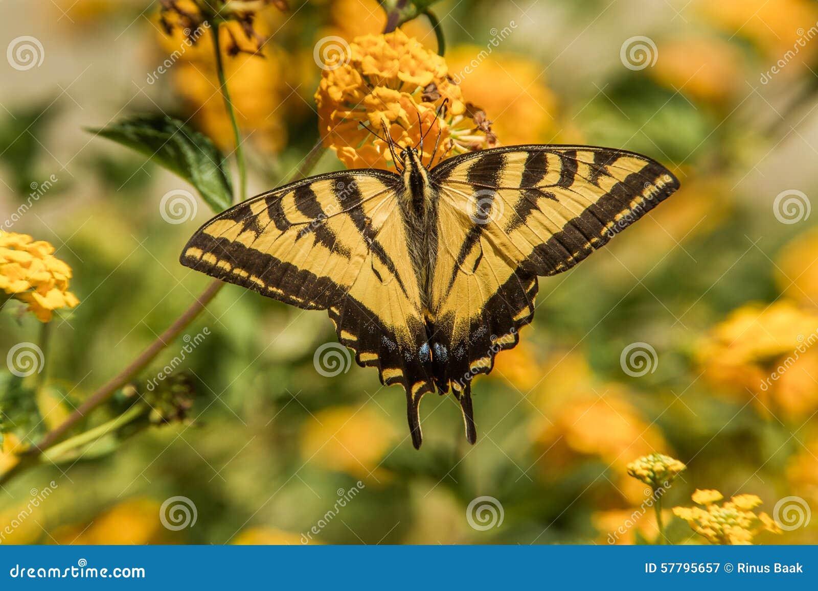 Swallowtail zachodni Tygrysi motyl