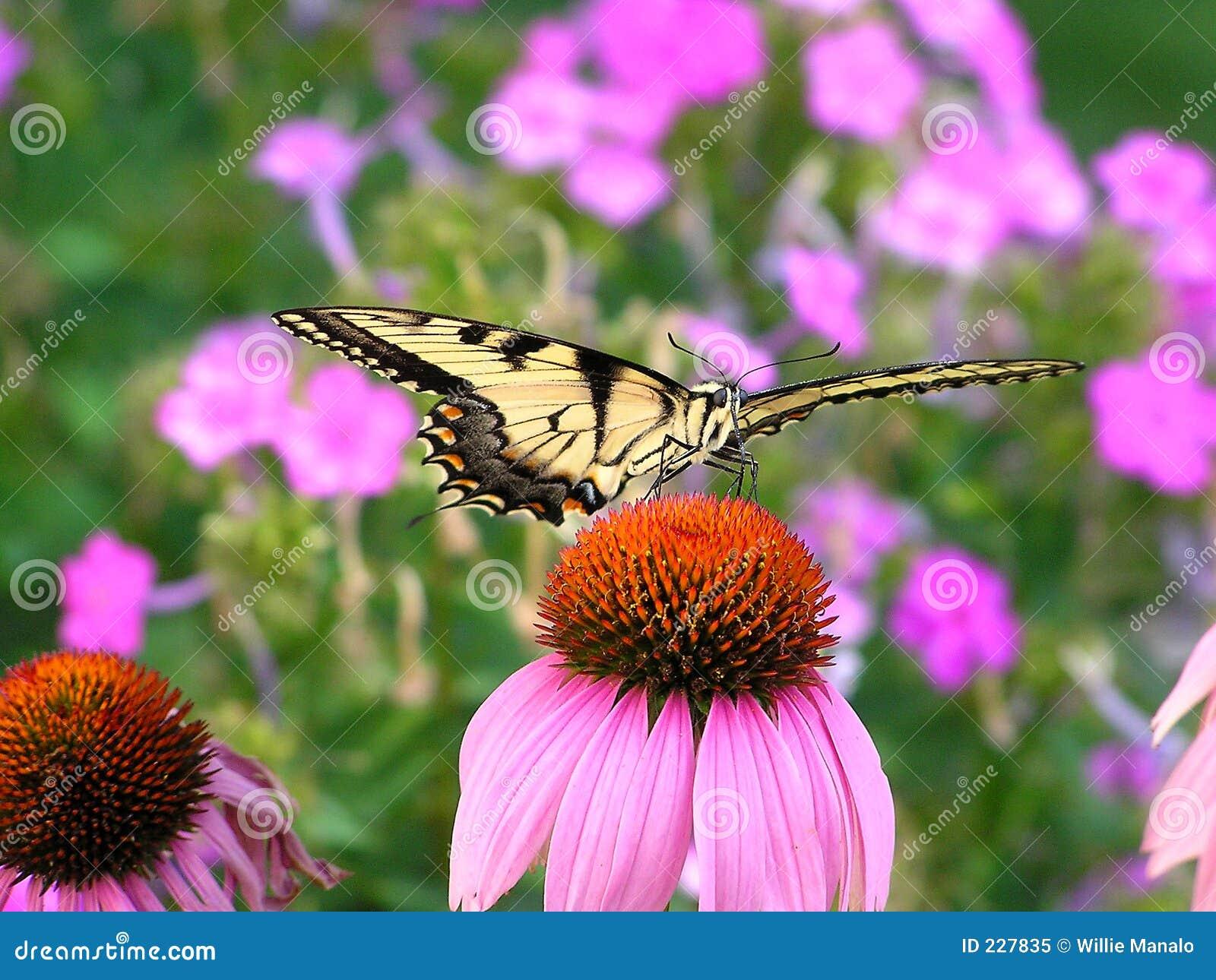 Swallowtailtiger