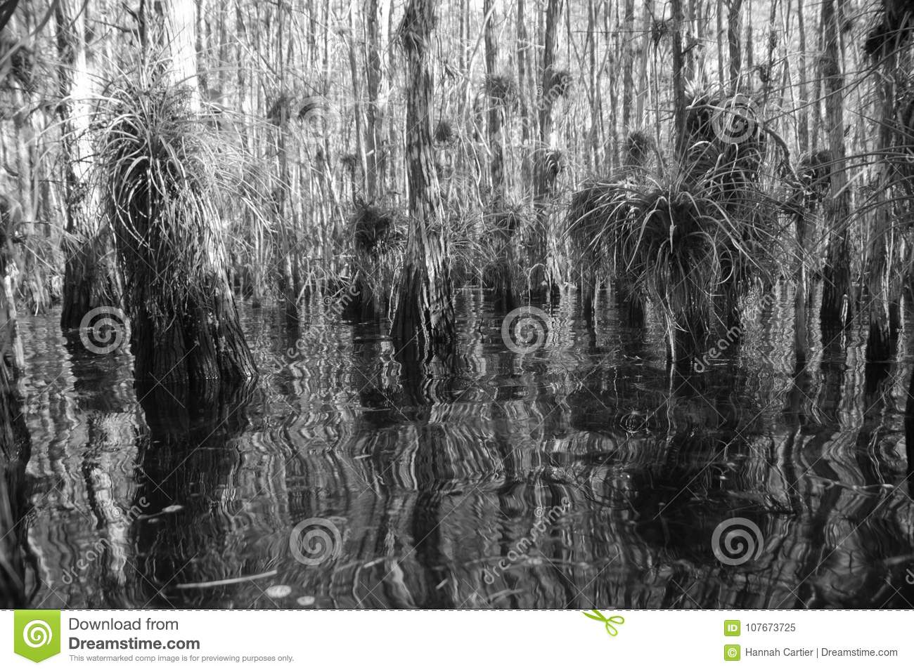 Sight walking through a dense swamp in the florida everglades