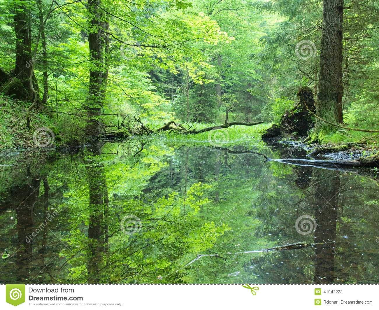 Swamp In Forest  Fresh Spring Green Color  Bended Branches Above Water  Reflection In Water