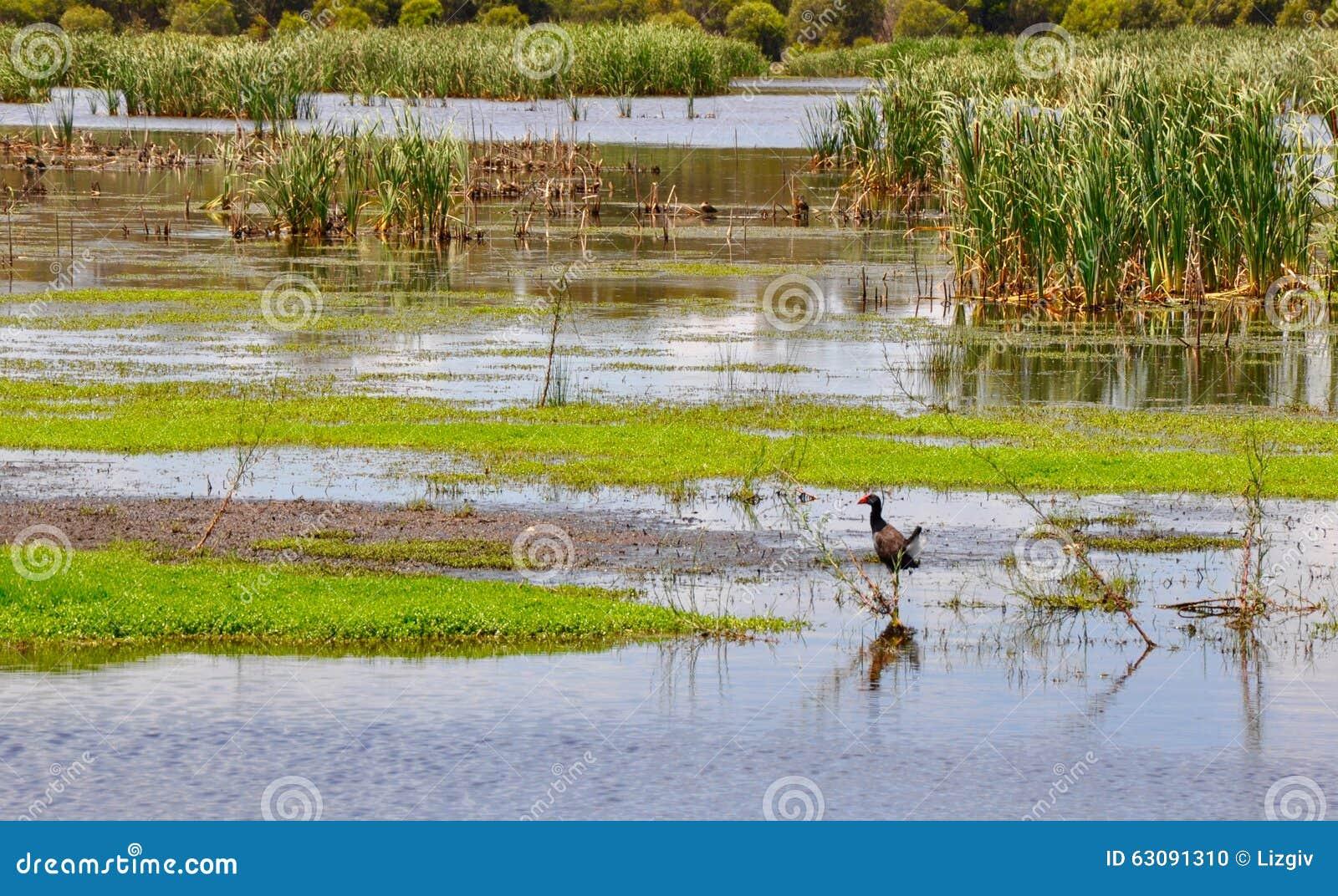 Download Swamphen Pourpre : Faune De Lac Bibra Photo stock - Image du faune, roseaux: 63091310