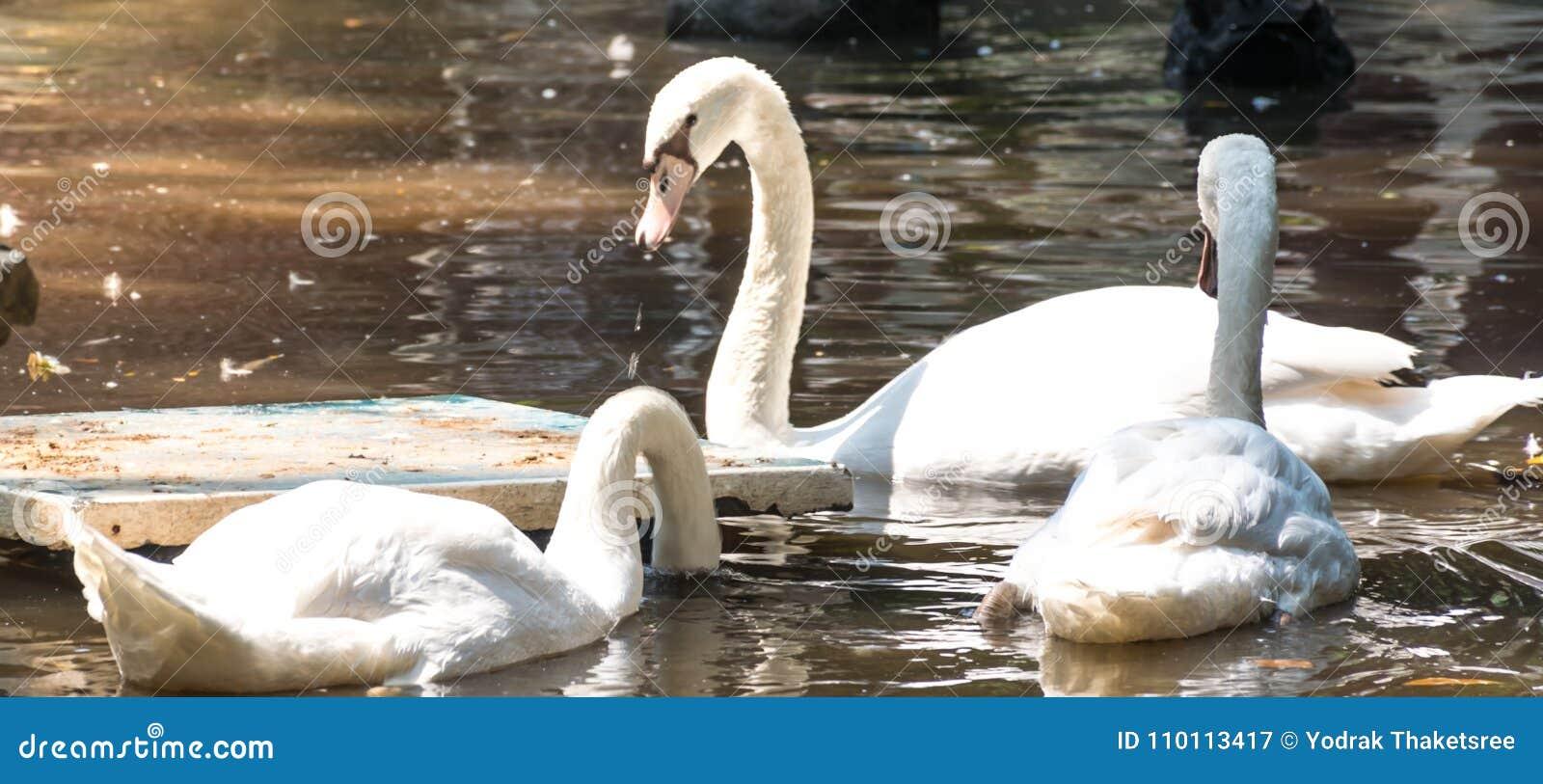 Swan bird in water