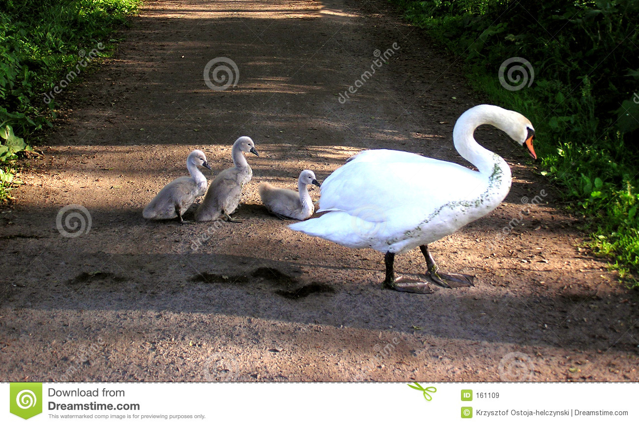 swan with chicks