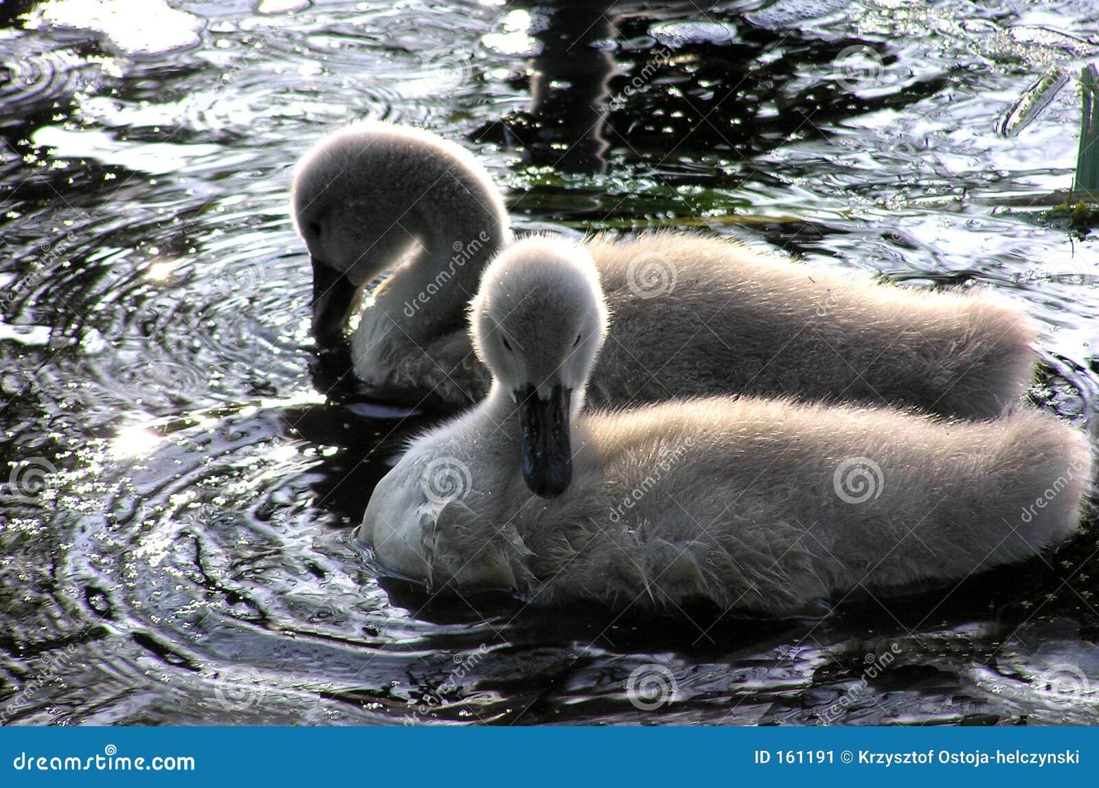 swan chicks 2