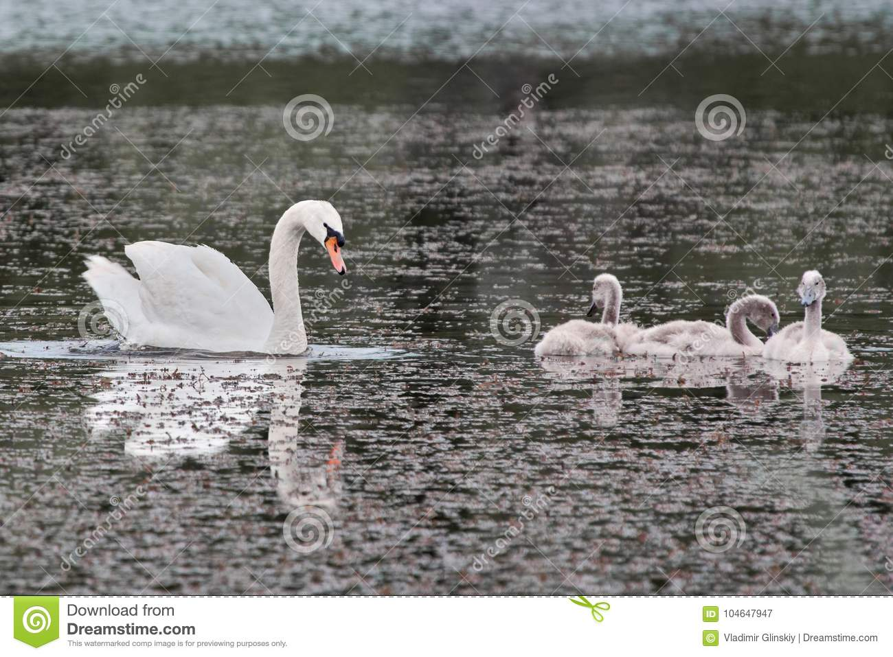 Swan and chicks on the lake.