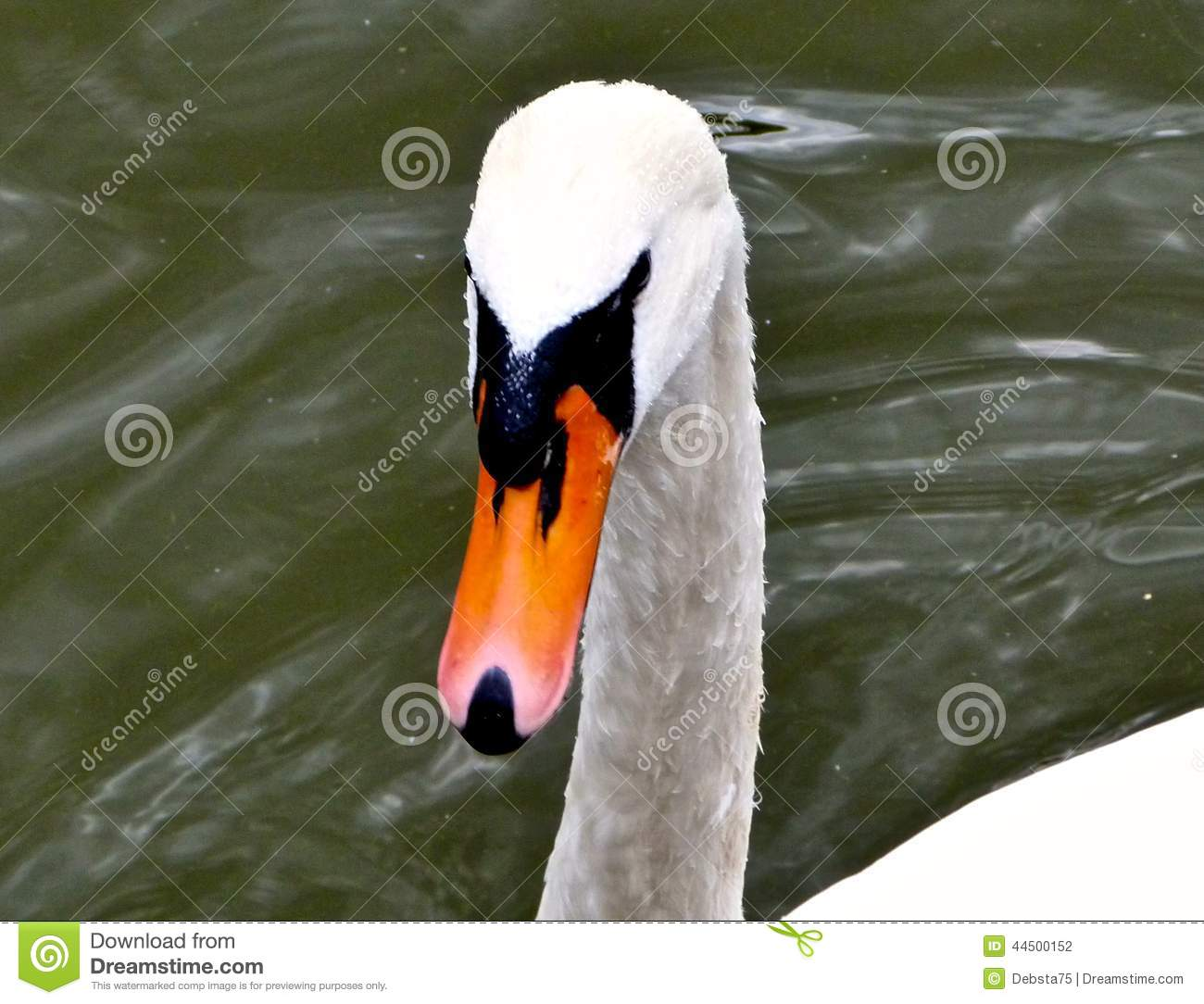 Swan stock photo. Image of close, face, swans, beak, swan ...