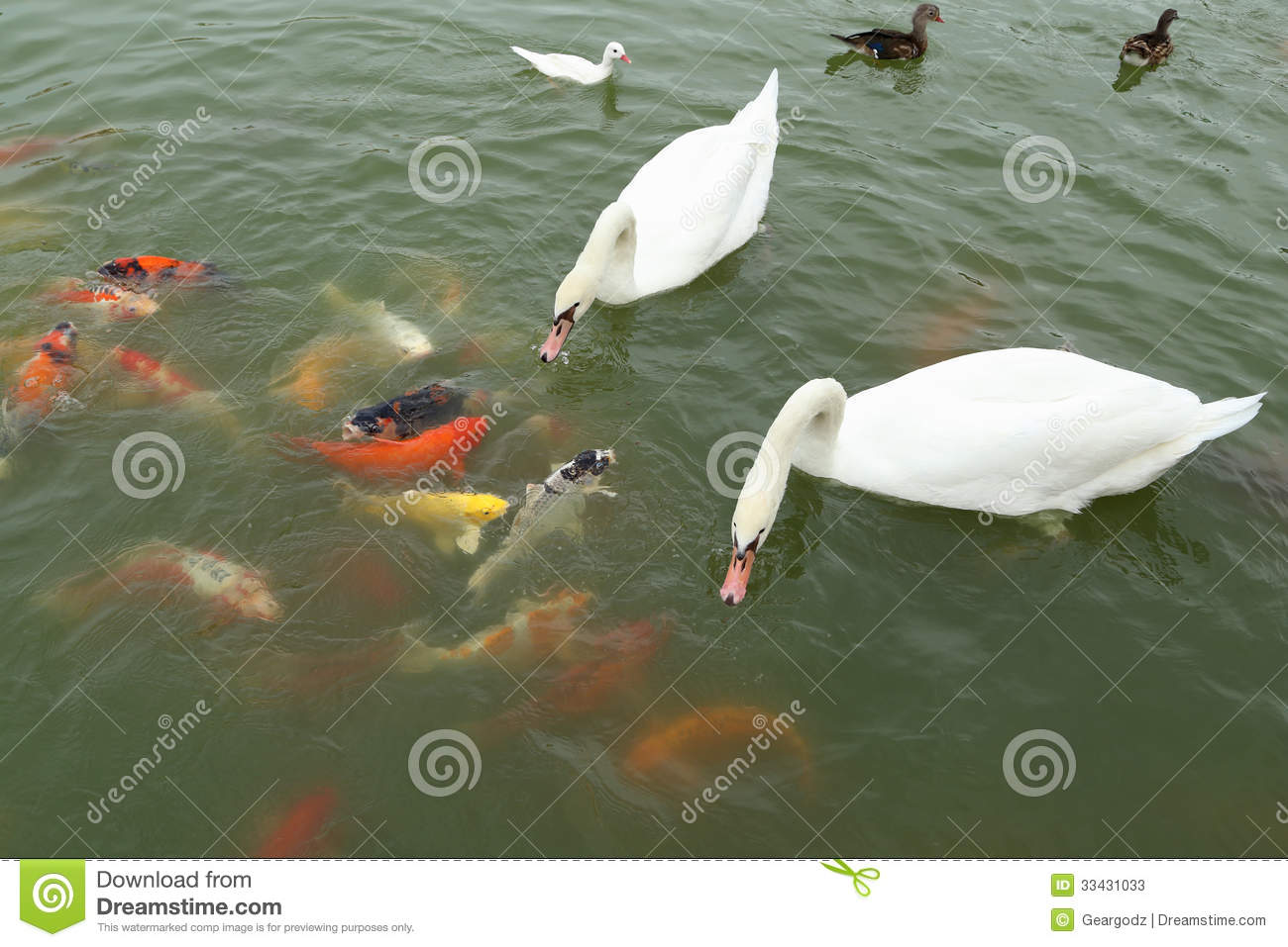 Swan and duck with koi fish swimming in pond stock photos for Fishing for ducks