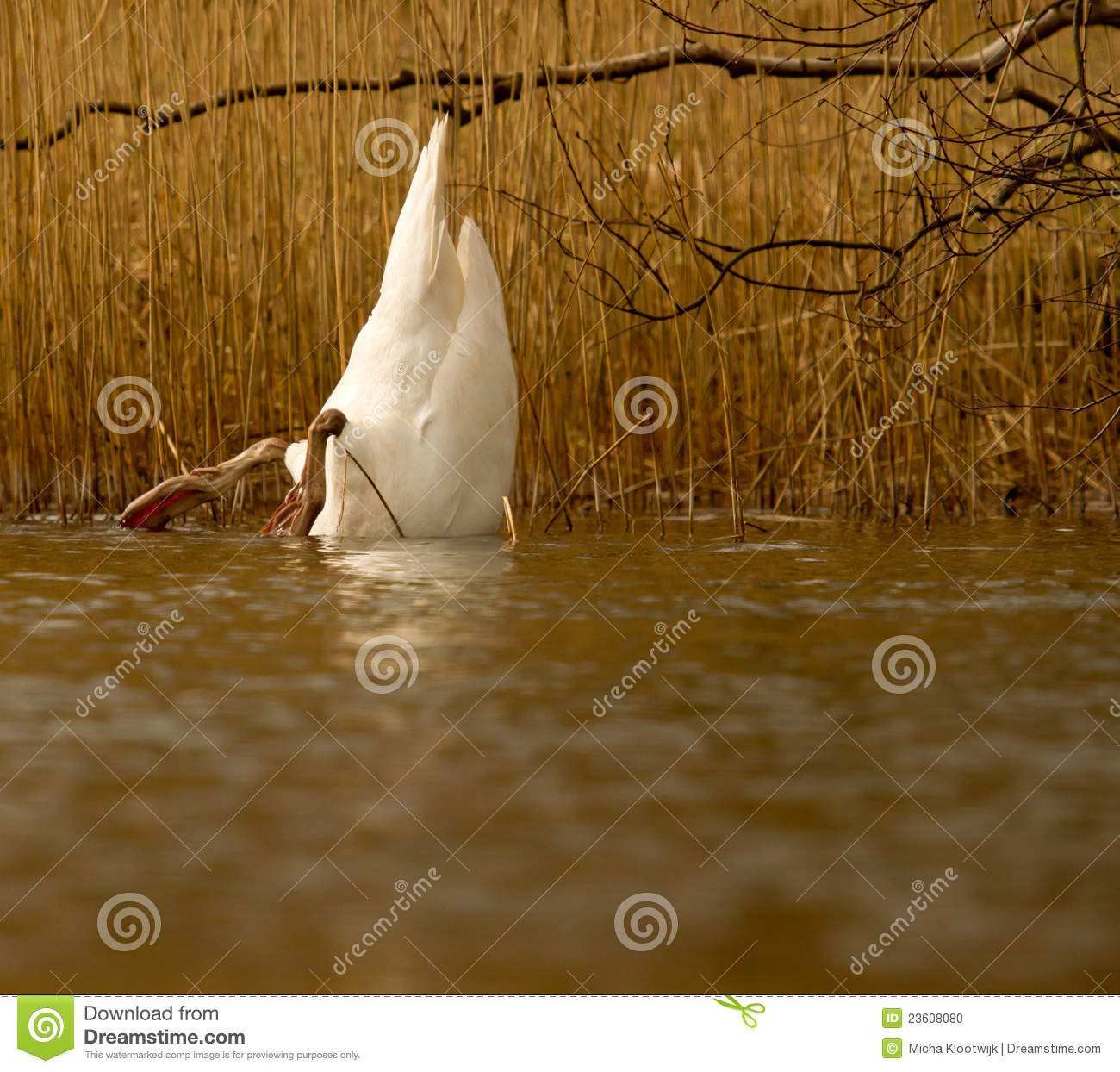 A swan is eating