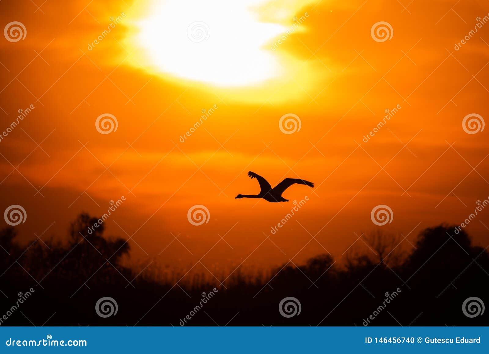 Swan flying at sunset in Danube Delta , Romania wildlife bird watching