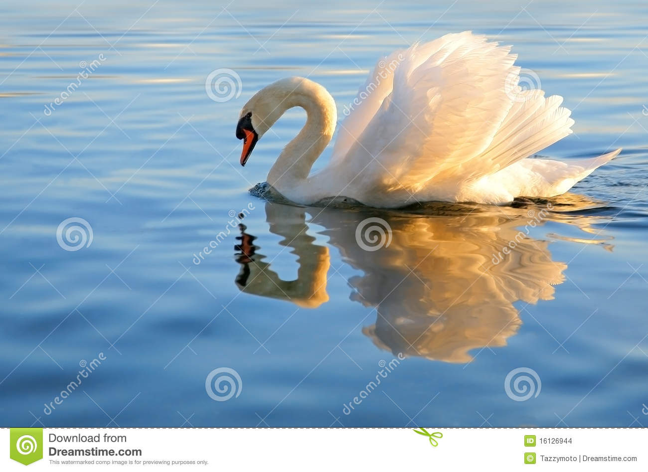 Swan with golden reflection