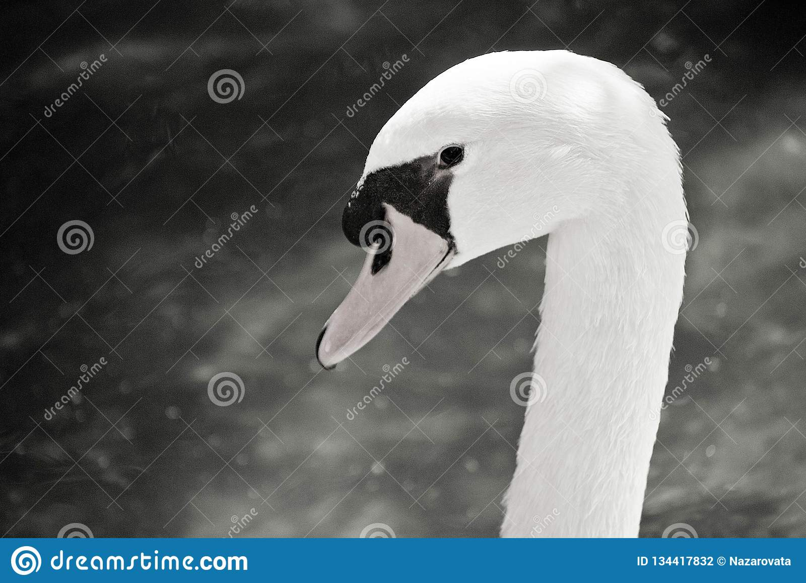 Swan head black and white photo