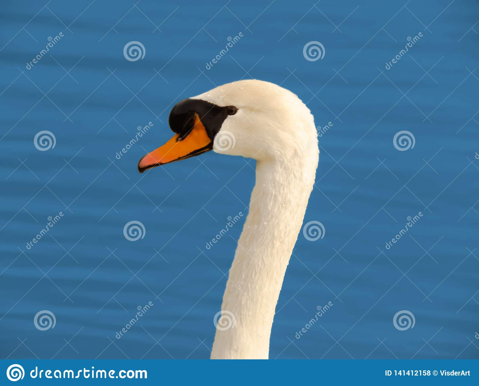 Swan head close up on blue water