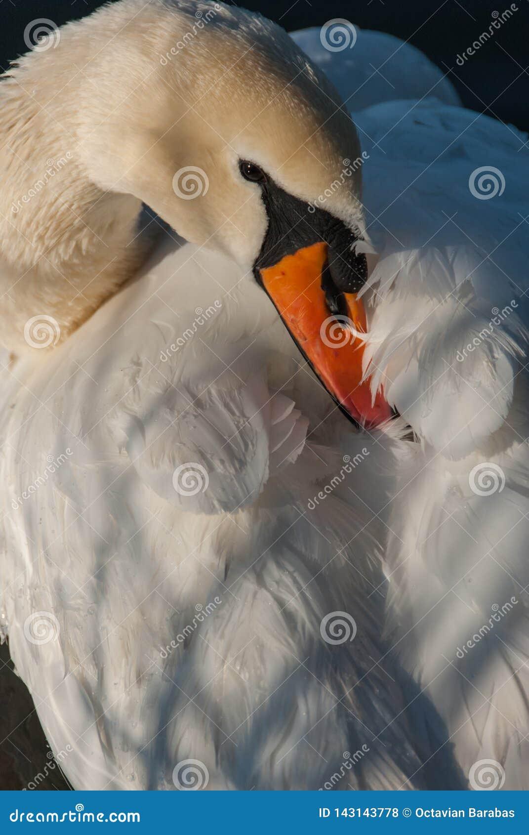 Swan hiding beak in its feathers