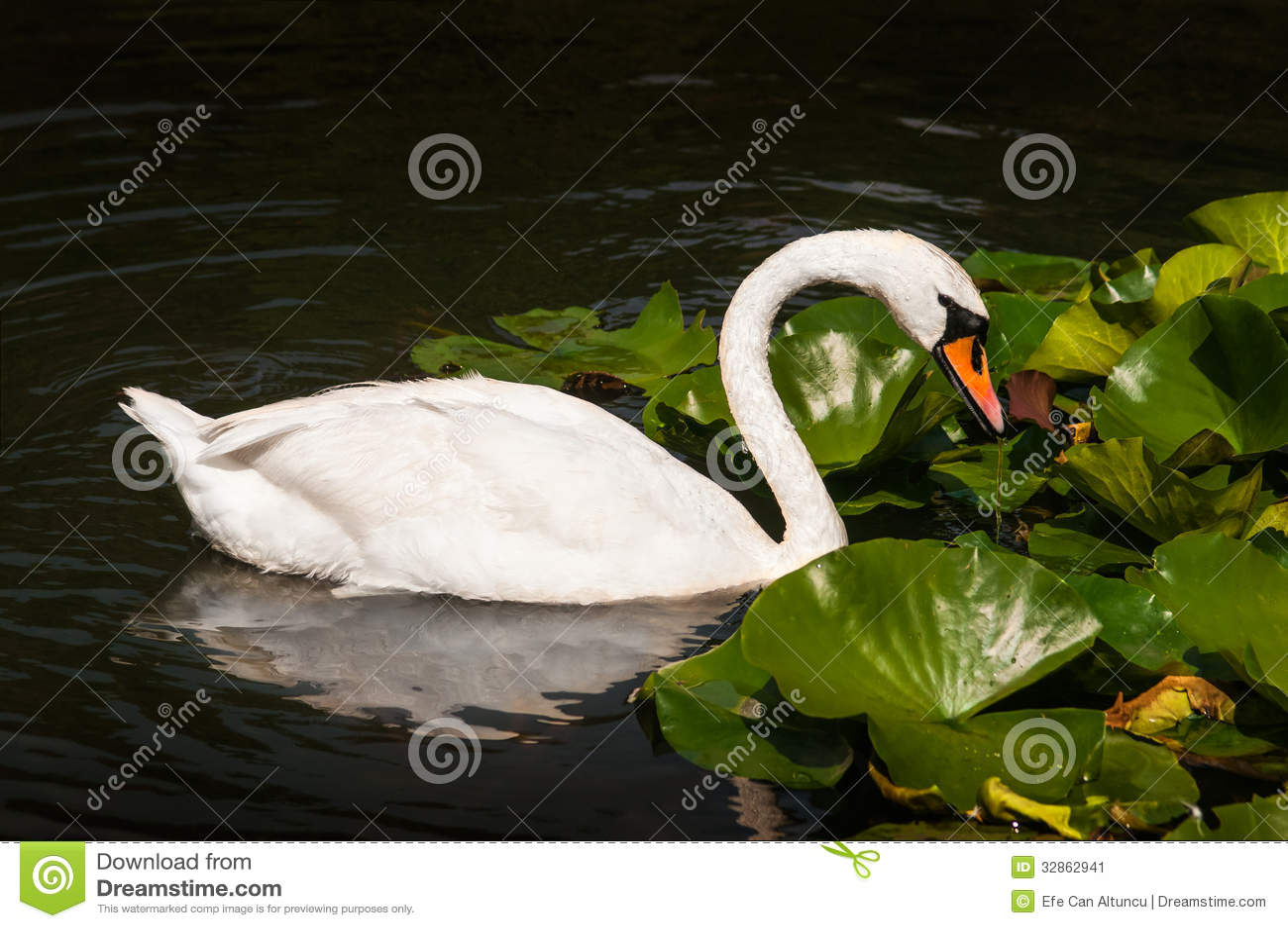 swan stock image image 32862941