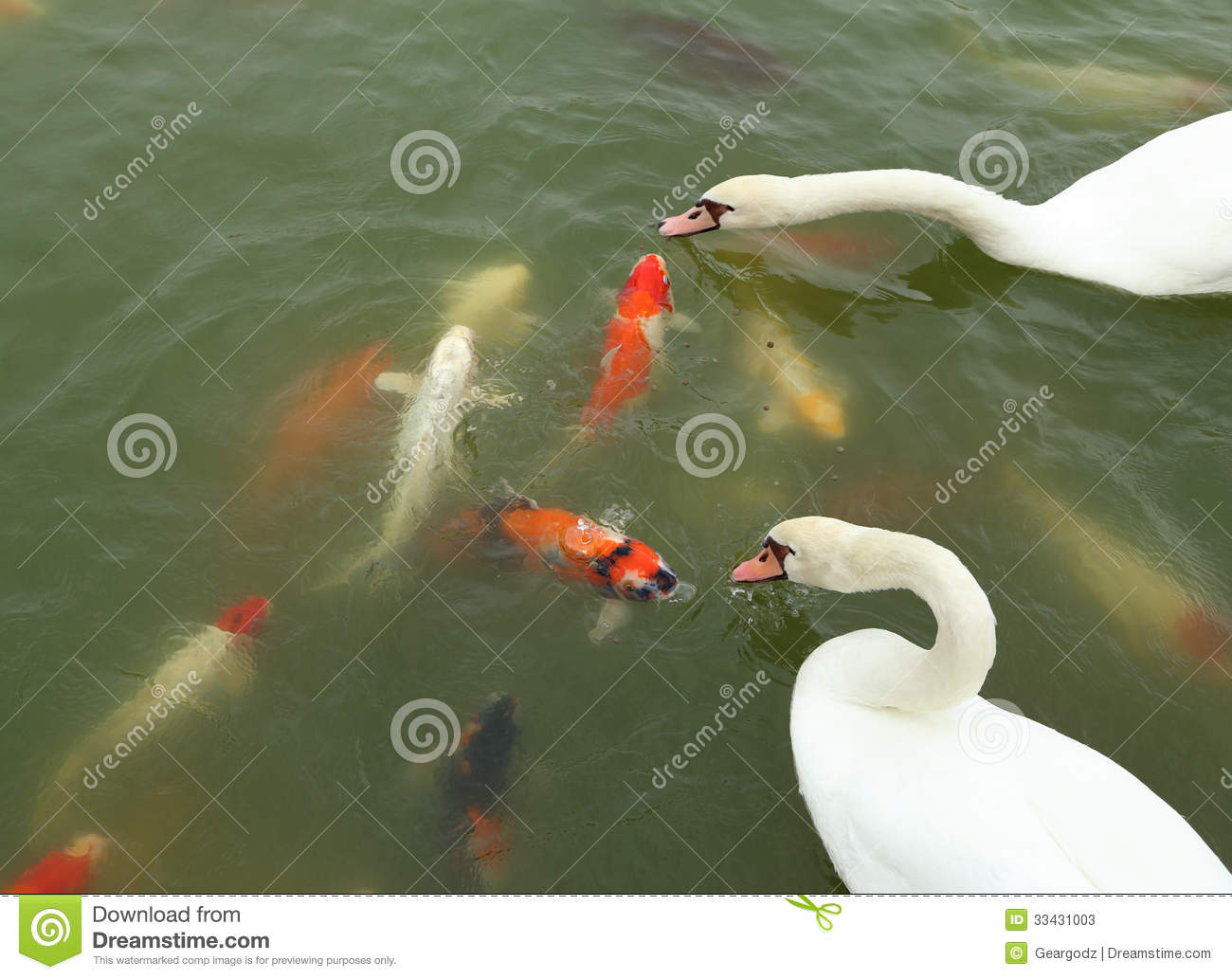 Swan with koi fish swimming in pond stock image image for Pool koi aquatics ltd