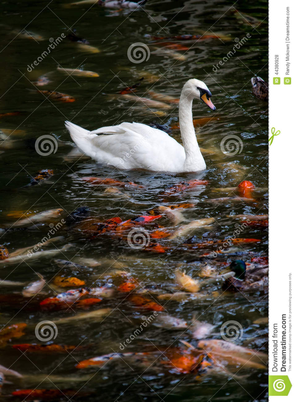 Swan with koi fish swimming in pond stock photo image for Dream of fish swimming