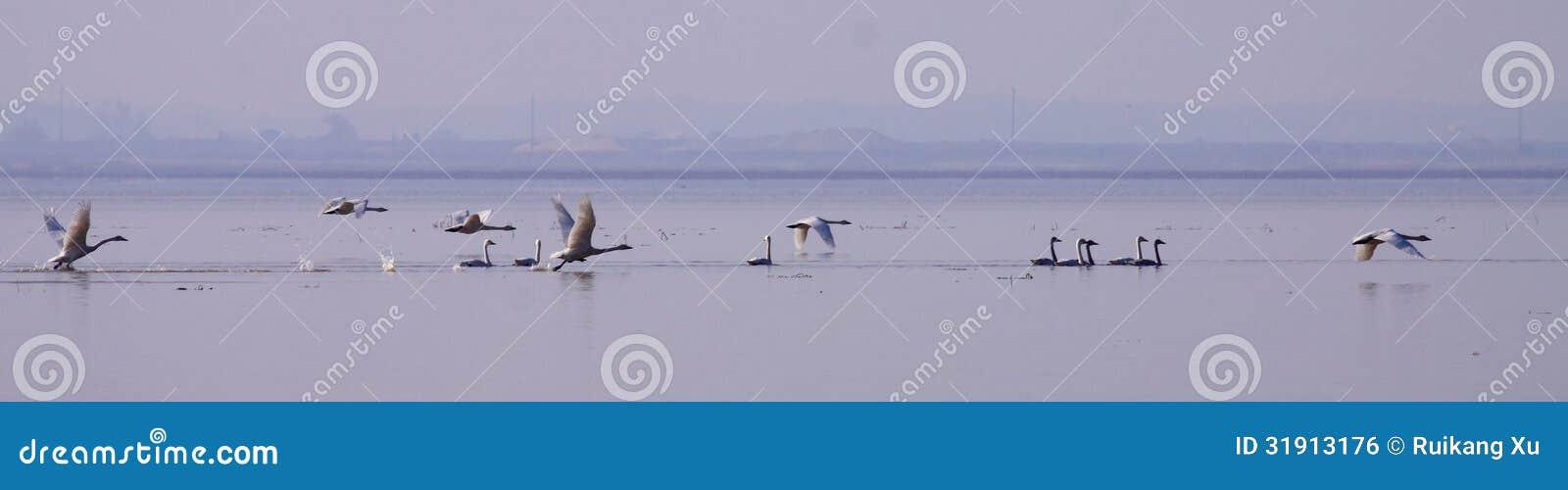essay on swan