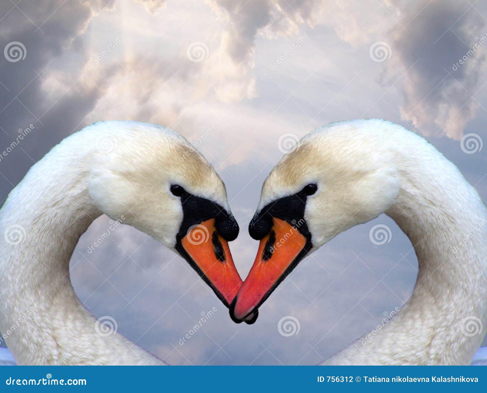 Swan miłości.