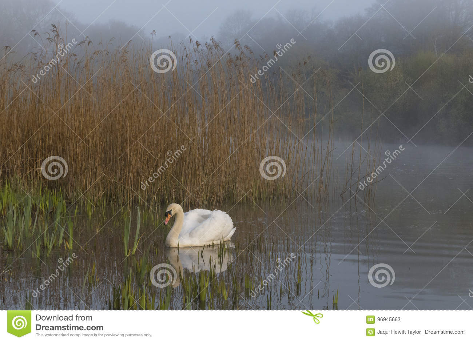 Swan in mist Southampton Common