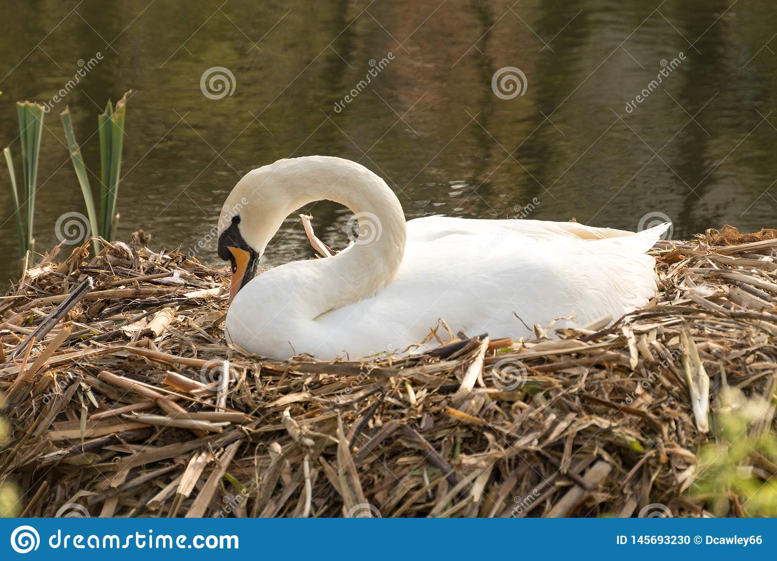 Swan nesting on a reed nest.
