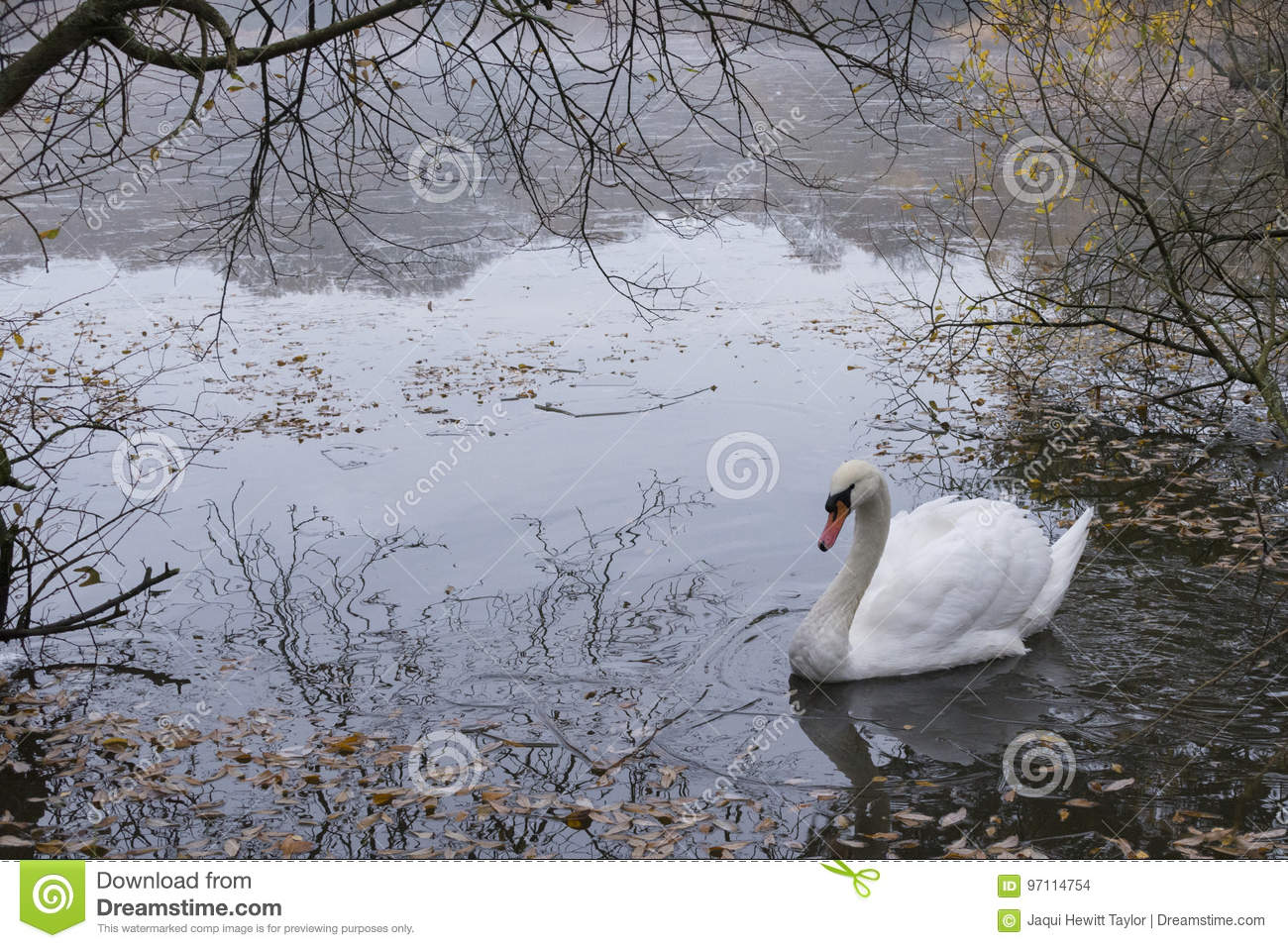 Swan on the Ornamental Pond at Southampton Common