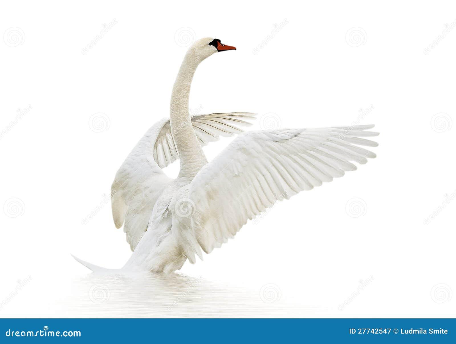 Swan på vattnet.