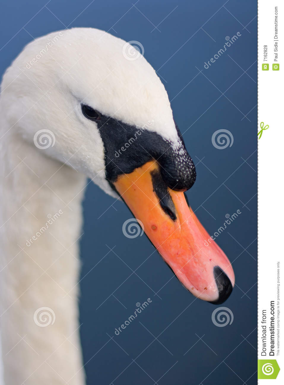 Swan's Beak stock photo. Image of bird, neck, water, swan ...