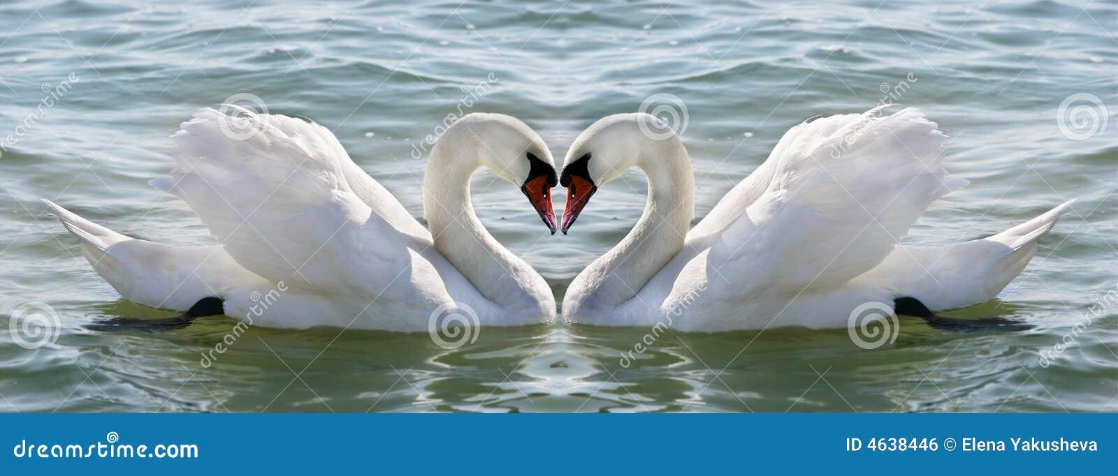 Swan serca