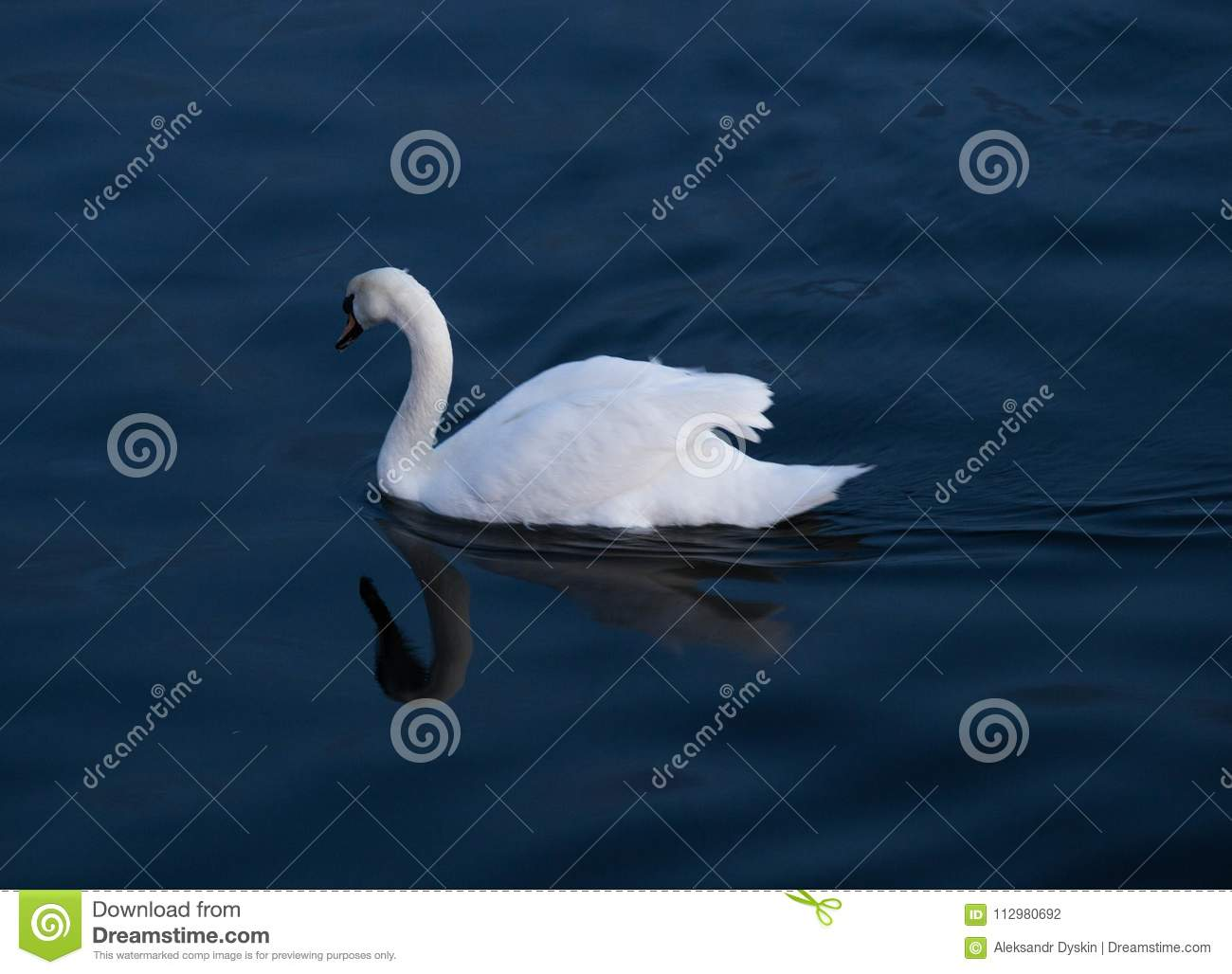 Swan at Sheepshead Bay evening of March 24