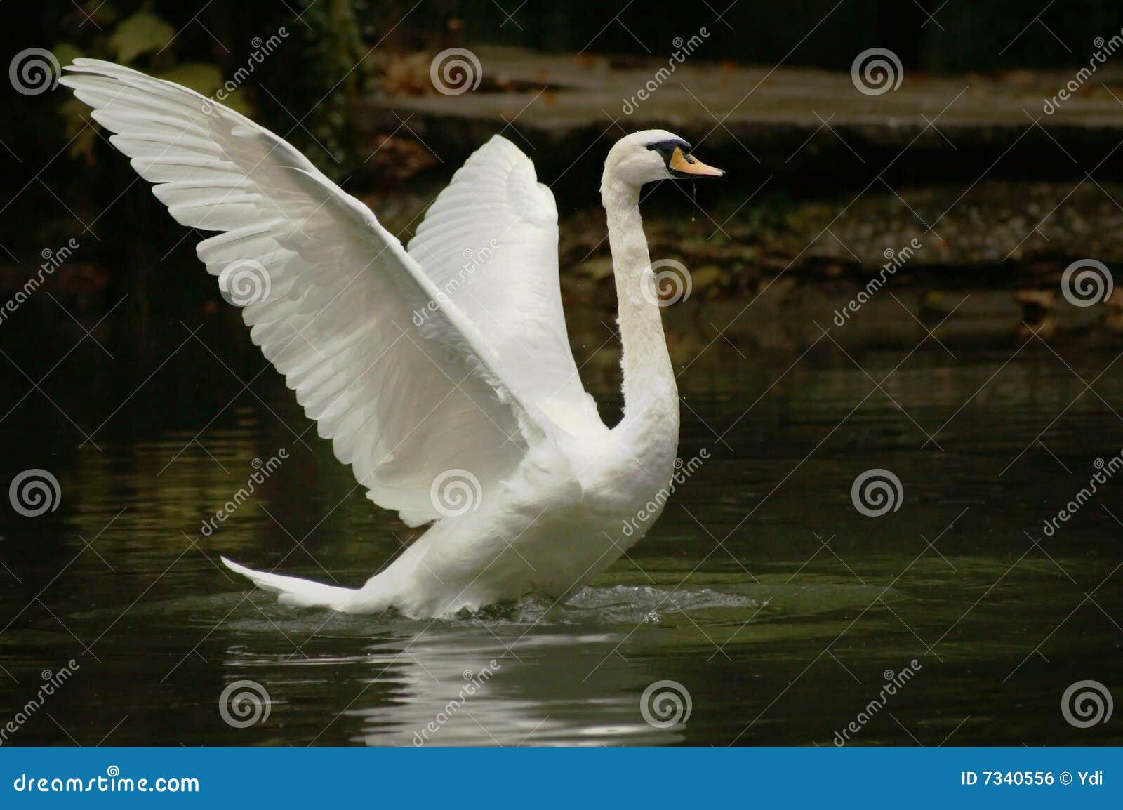 Swan som tar vingen